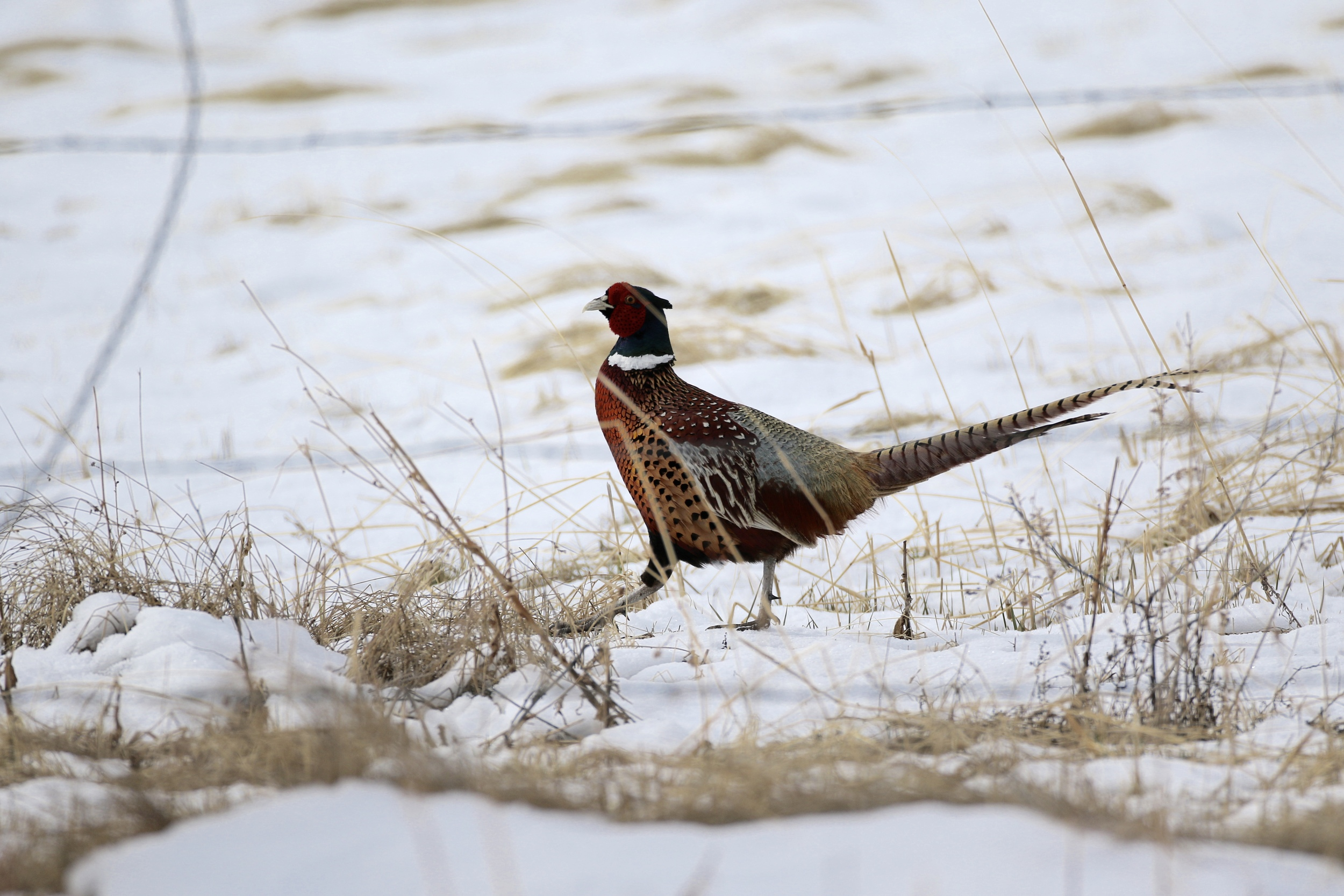 A Ring-necked Pheasant crosses a snowy field near Lander, WY