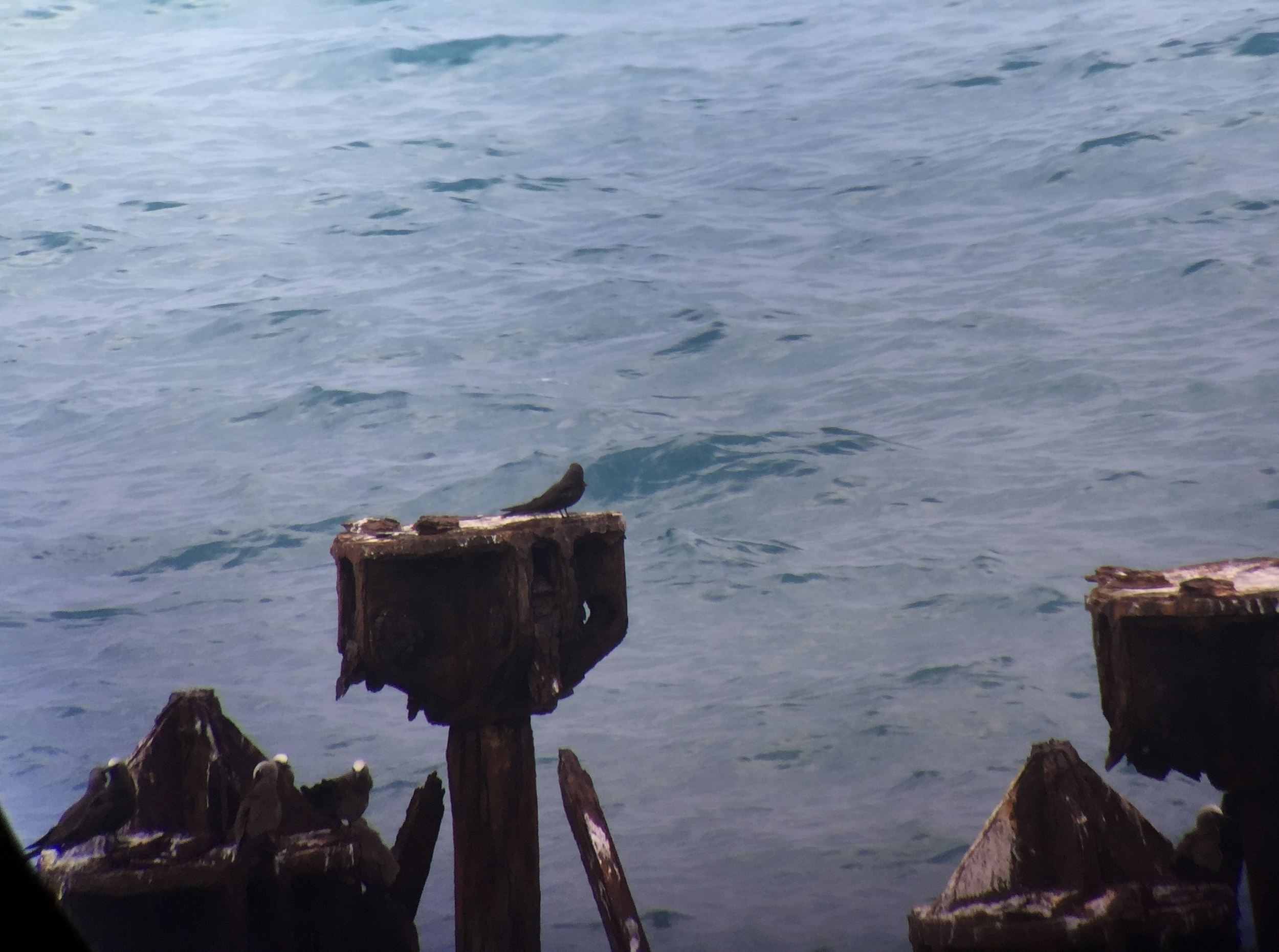My first view of the Black Noddy, on the coaling docks of Fort Jefferson