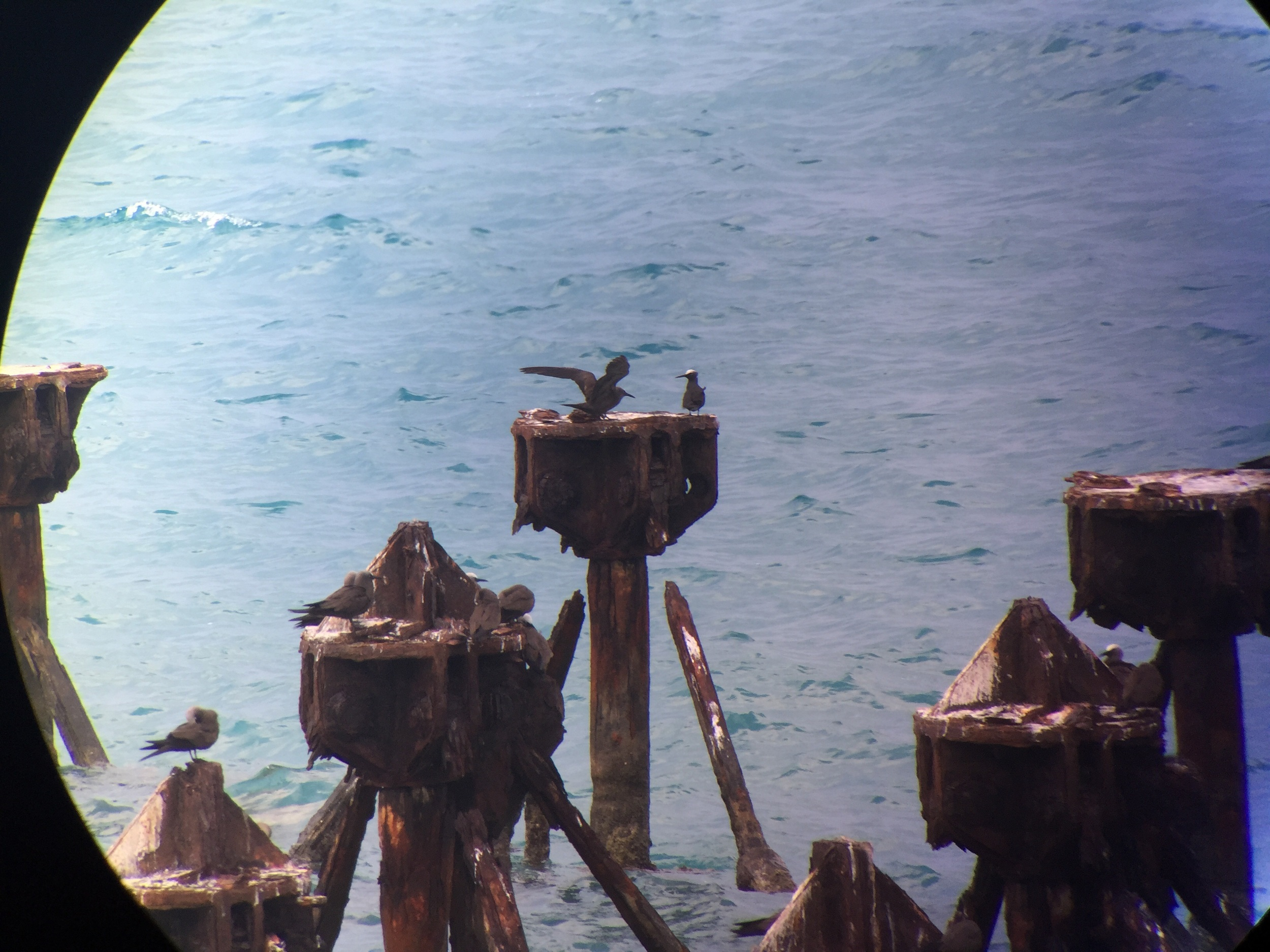 Black Noddy (right bird, furthest piling) digiscoped with iPhone