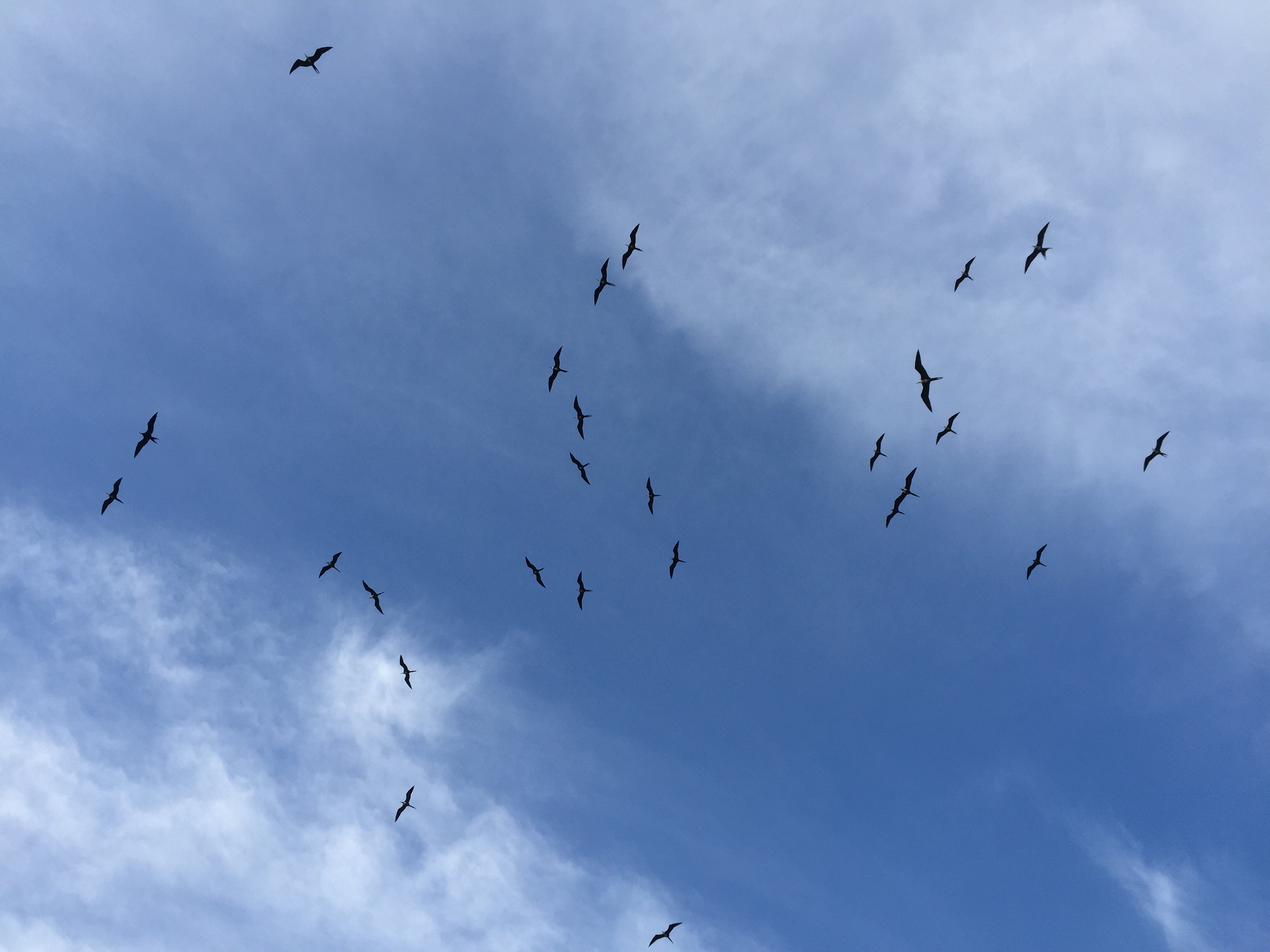 Magnificent frigatebirds soar above the fort  this is the only breeding colony of the species in North America