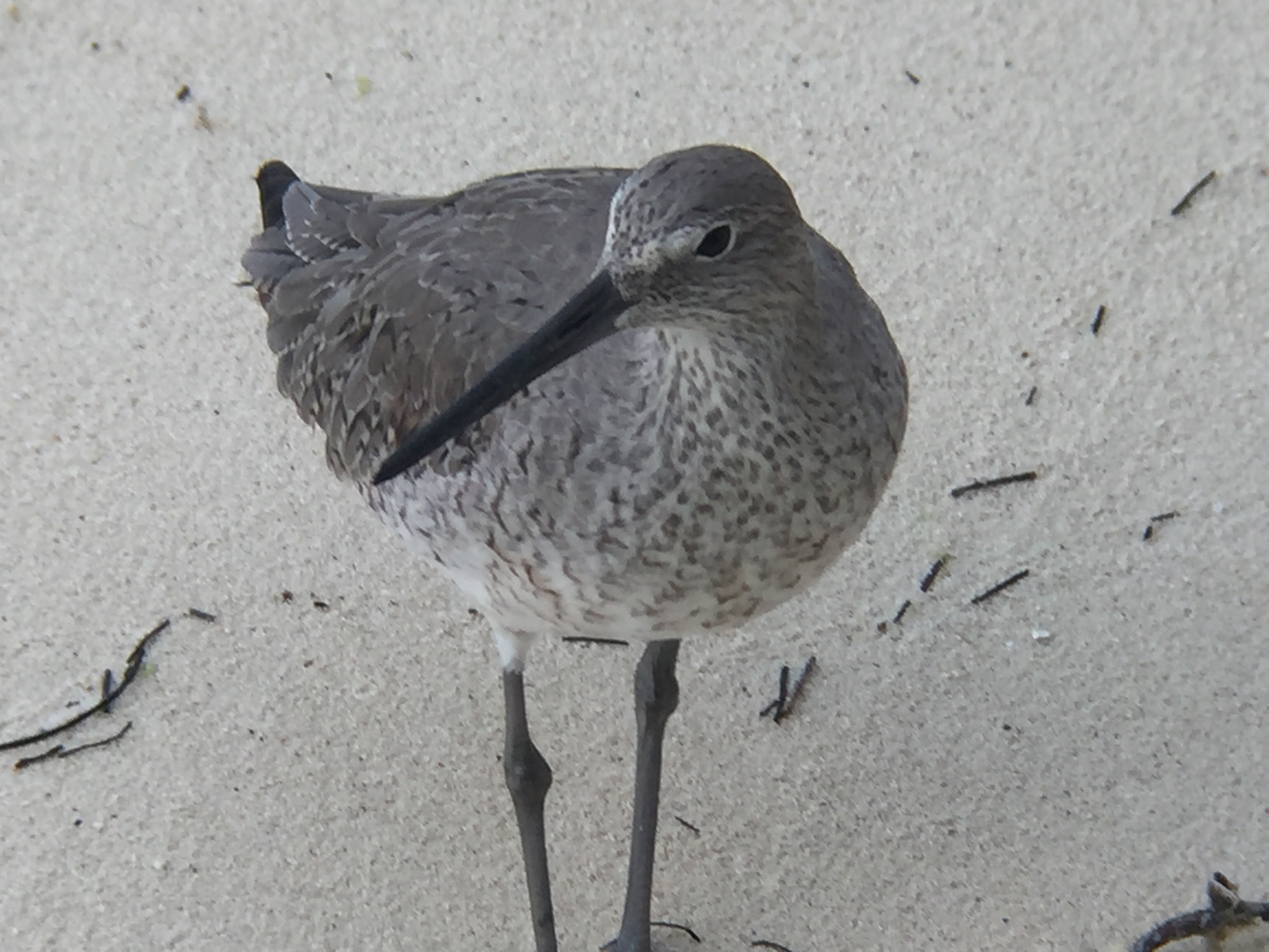 A Willet feeds on the beach