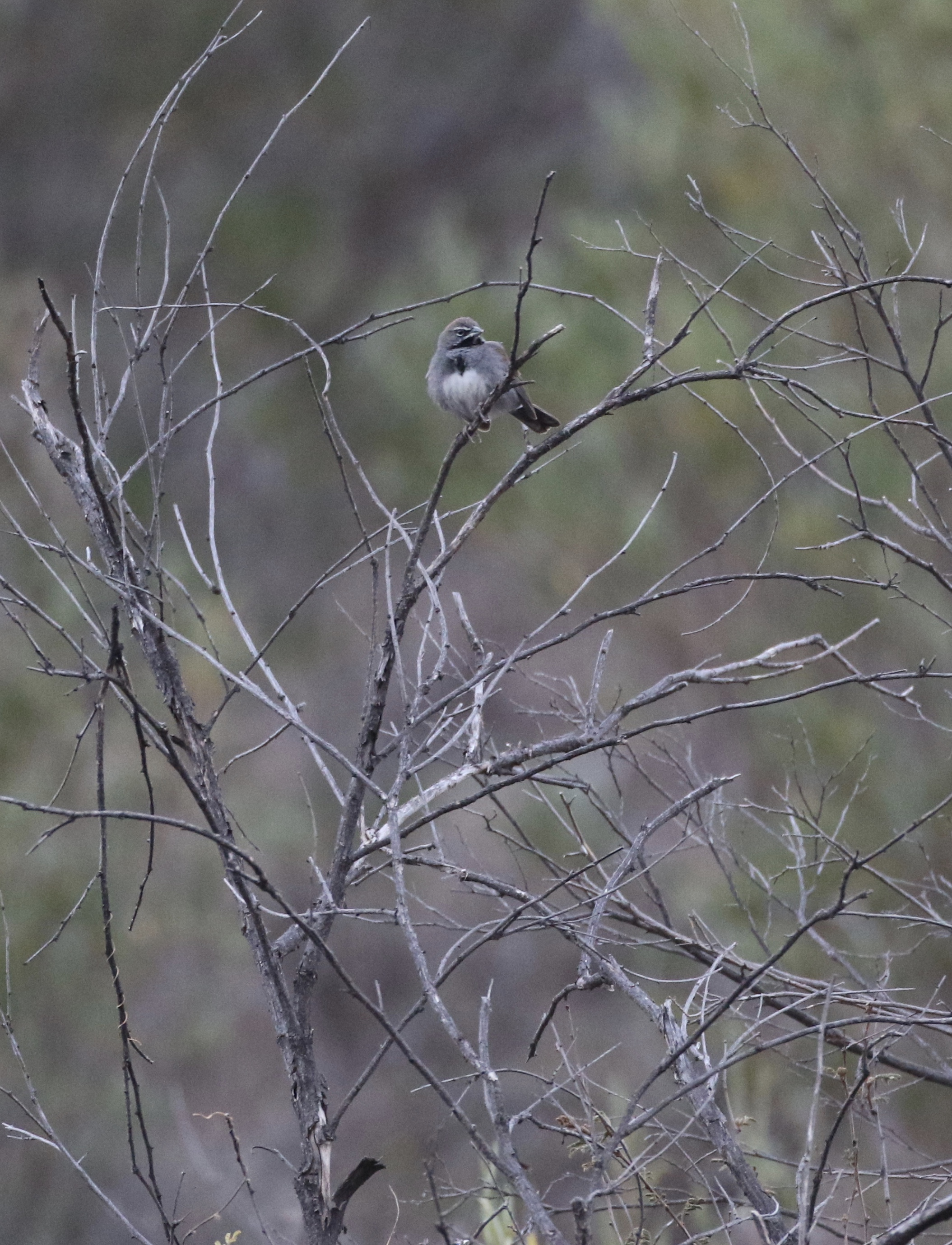 A Five-striped Sparrow eluded me on my first trip down California Gulch, but not on my second try!