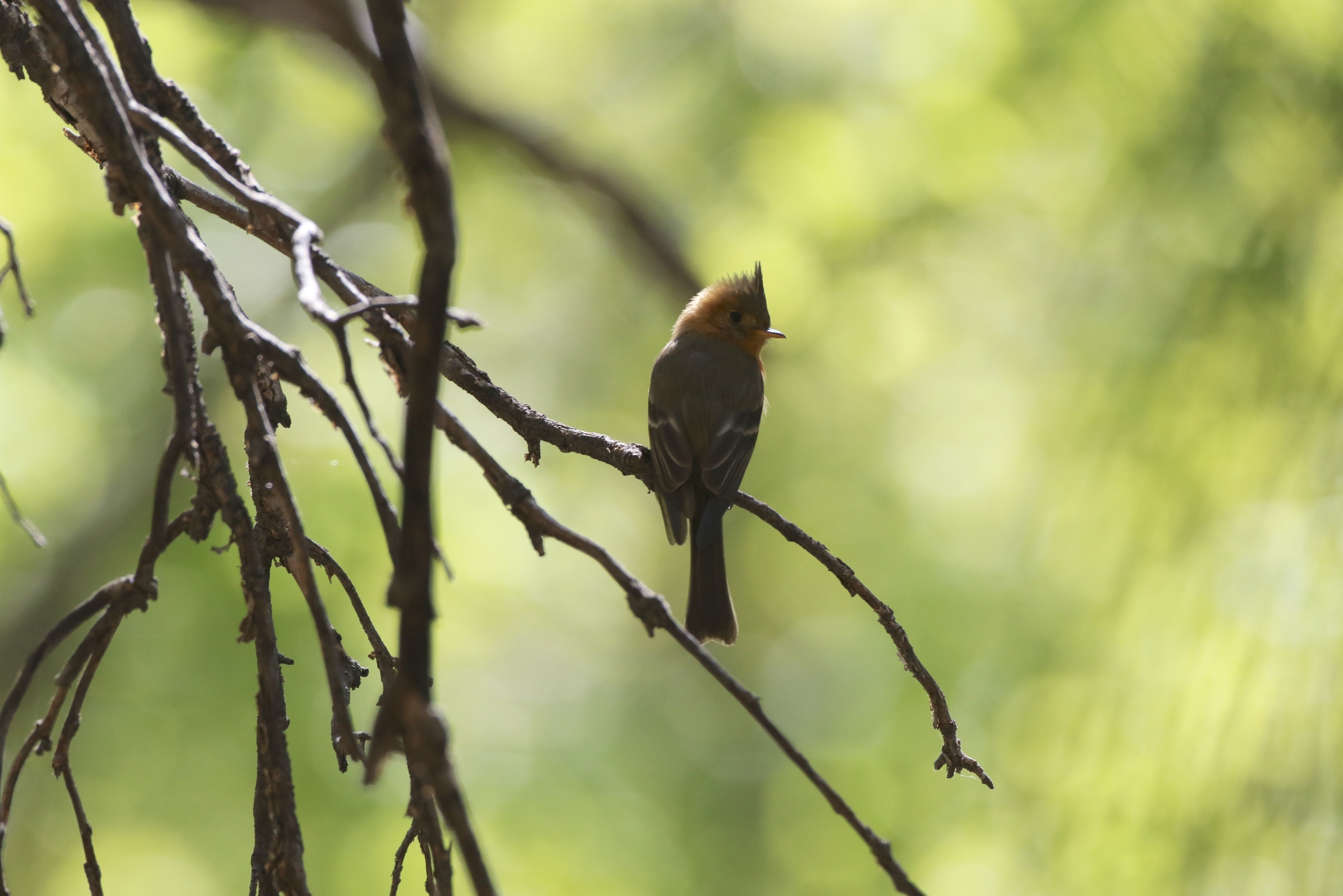 Tufted Flycatcher, Ramsey Canyon
