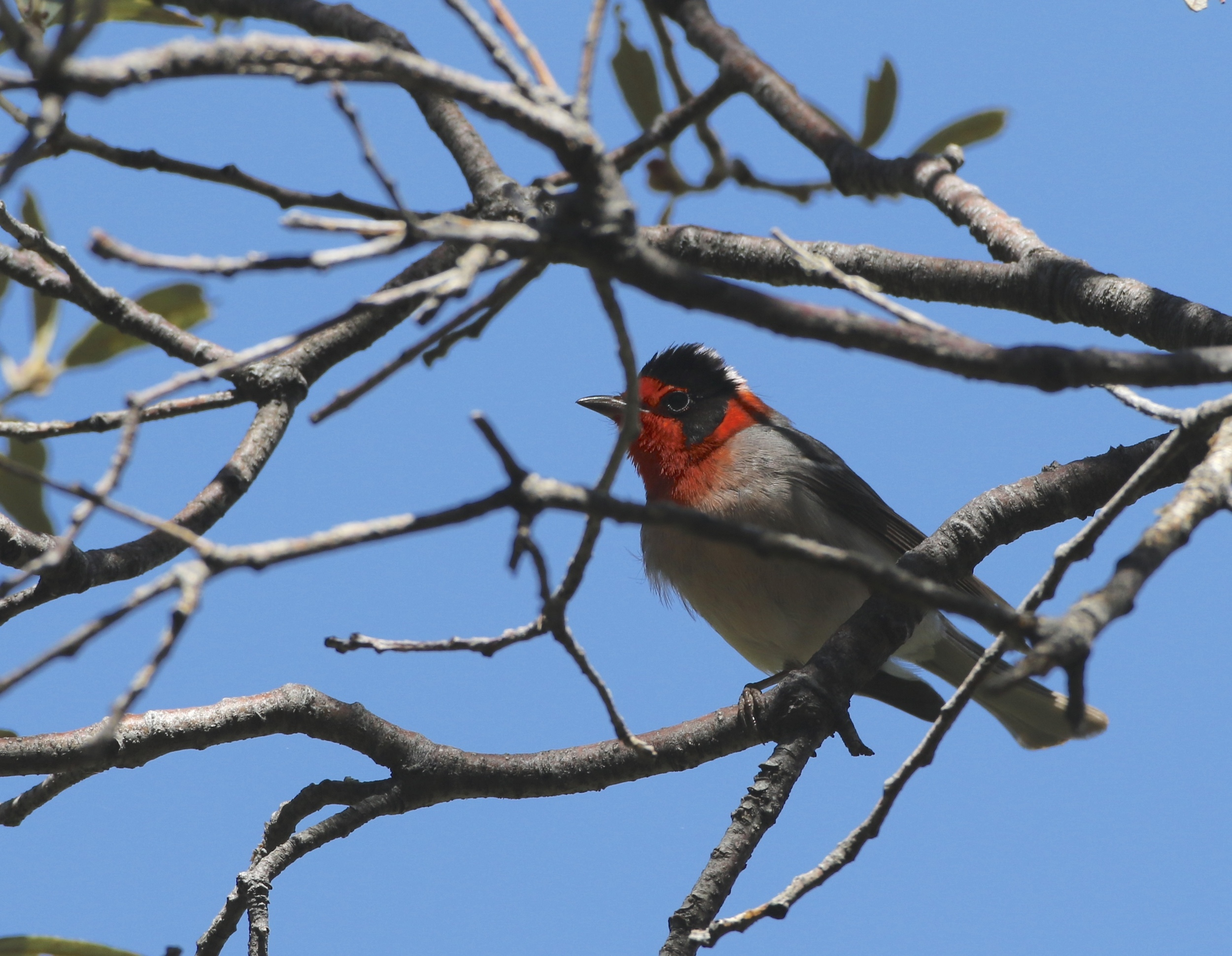 Red-faced Warblers were numerous in the montane forests around Carr and Ramsey Canyons