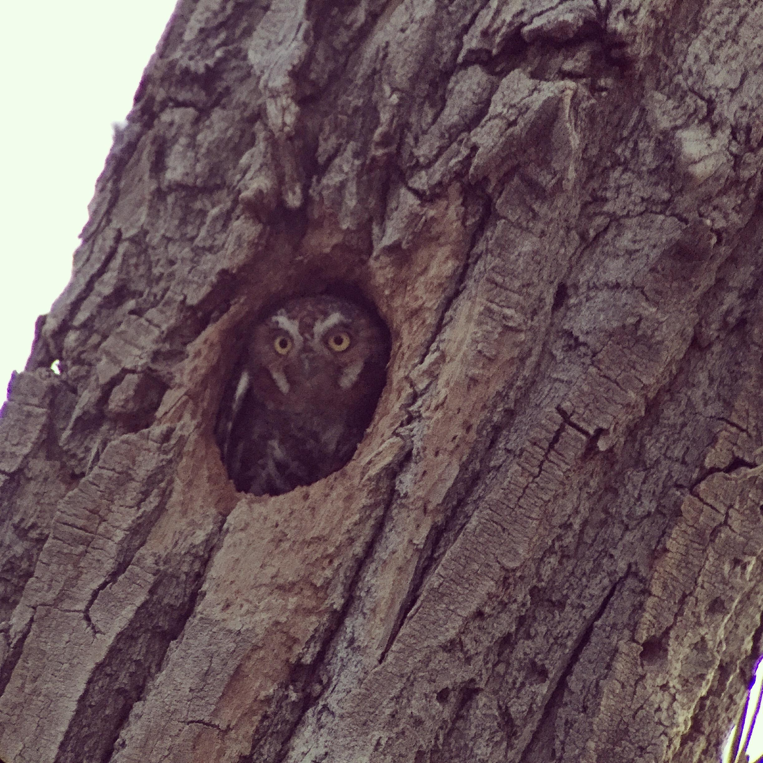 Elf Owl emerging from nest cavity
