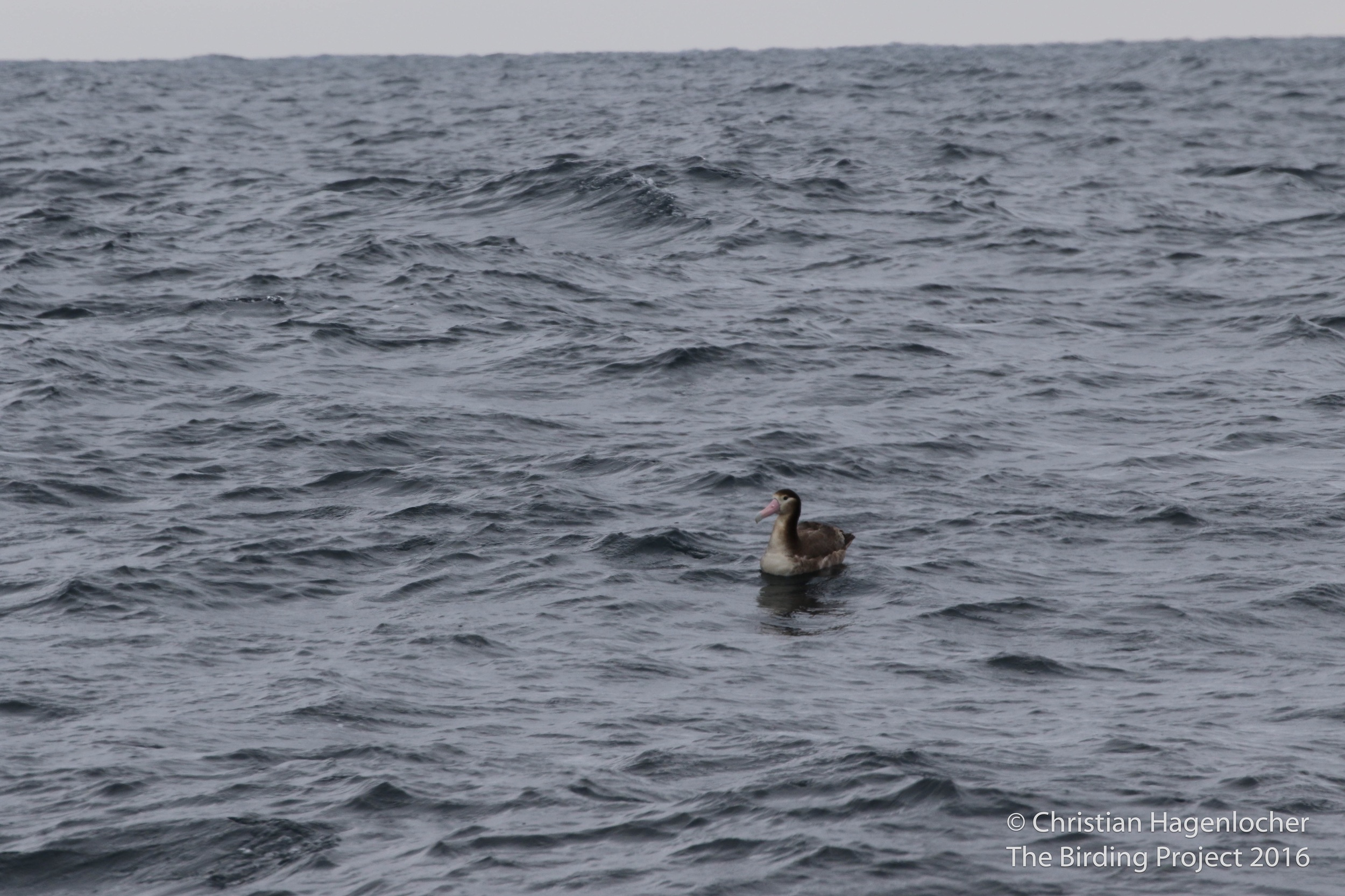 Short-tailed Albatross, found only in this stretch of water along the Aleutians