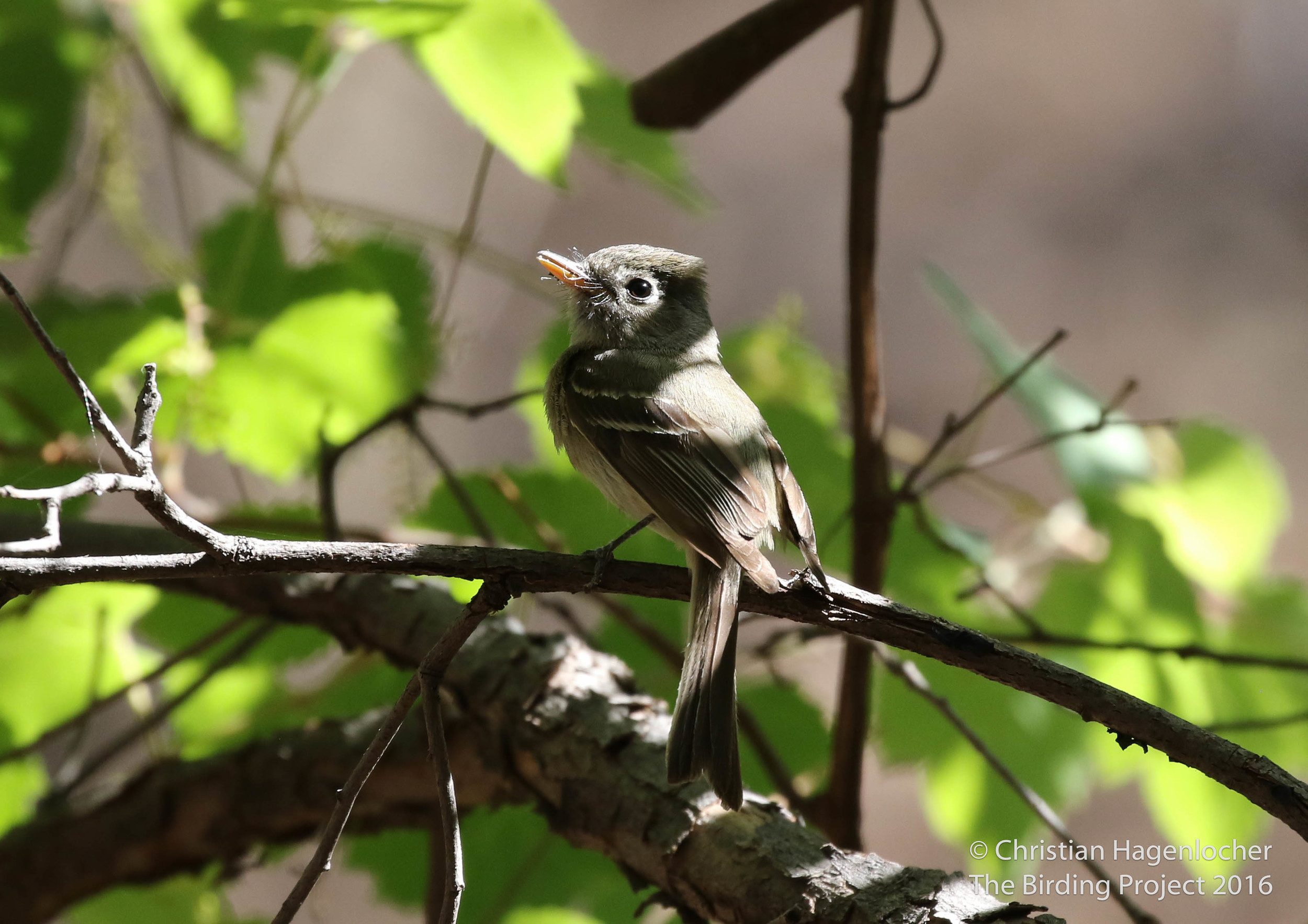 Pine Flycatcher  Aliso Spring