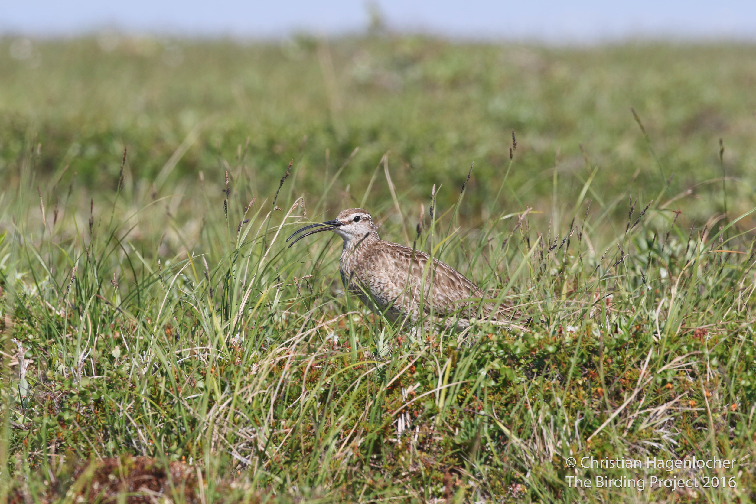 The similar-lookng Whimbrel snuck in, trying to throw off my count of curlews