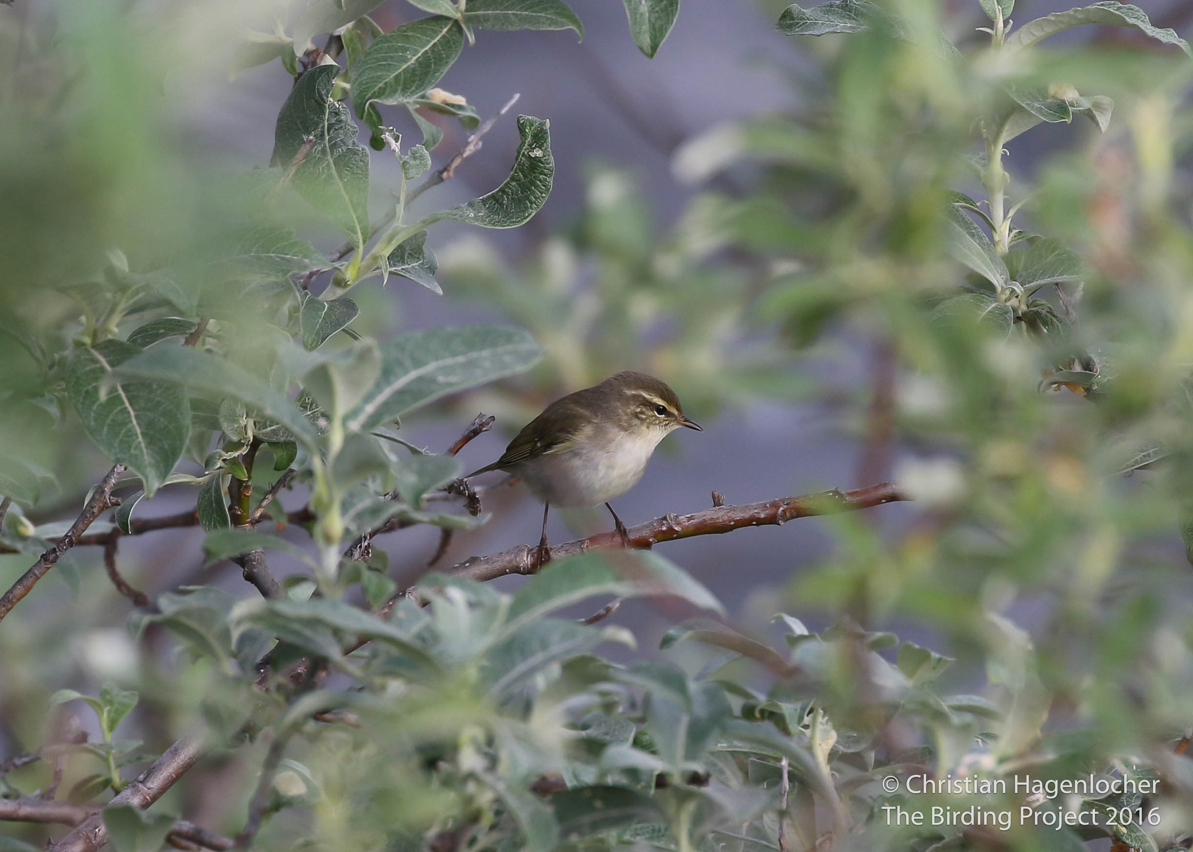A common breeder around the river valleys of Nome, this Arctic Warbler was singing at our first stop of the morning along the Kougarok Road. It is the only member of the Old World warblers that breeds in North America, making an interesting addition to my year list.