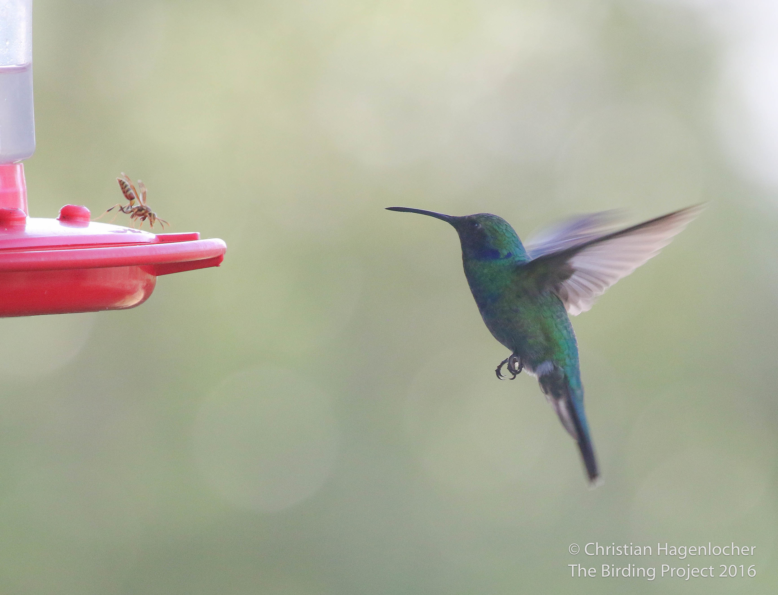 A Mexican Violetear faces off with a wasp at a hummingbird feeder located at a private residence near San Antonio, Texas