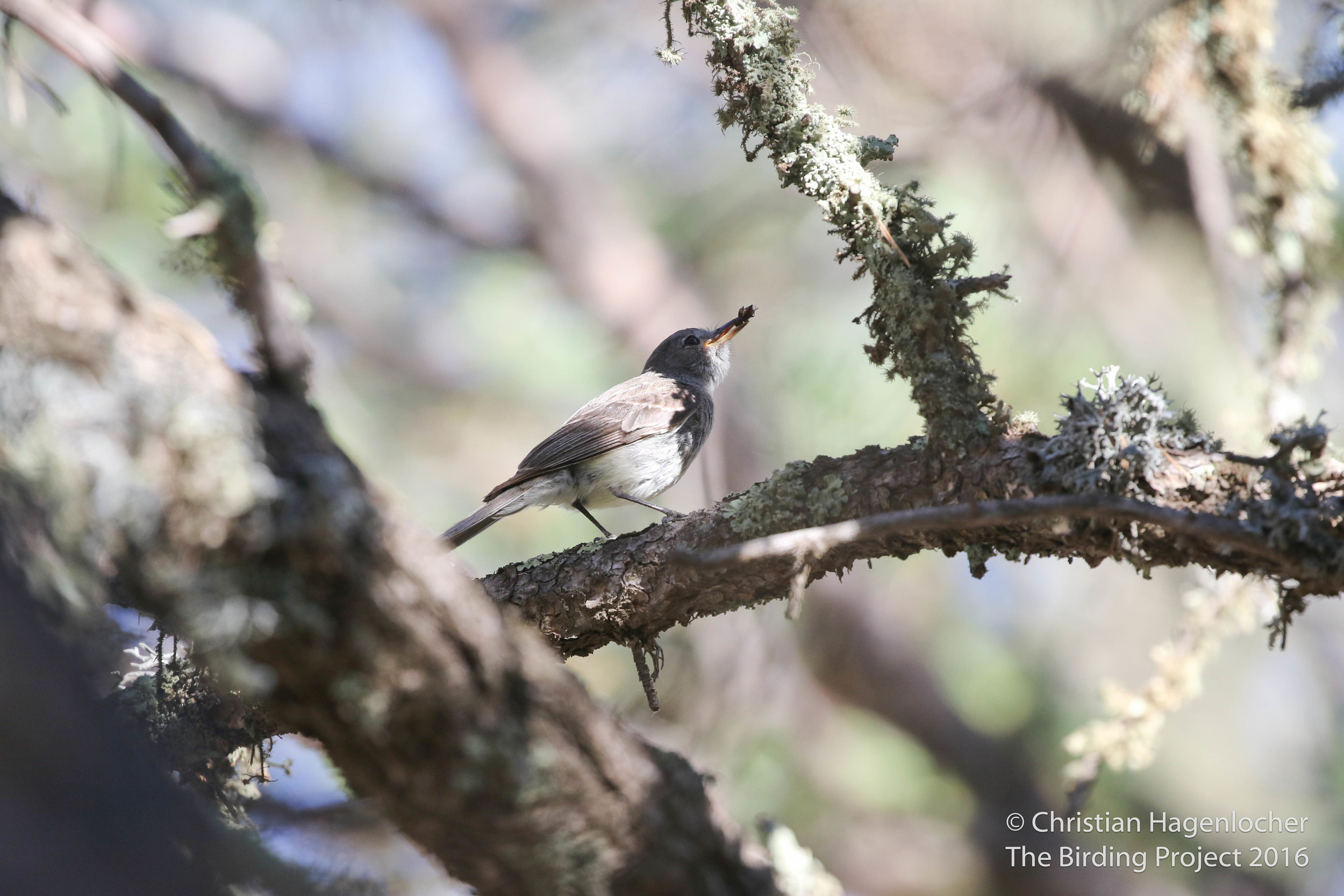 Before arriving at the wedding venue, I snuck out and nabbed #689, Gray Flycatcher