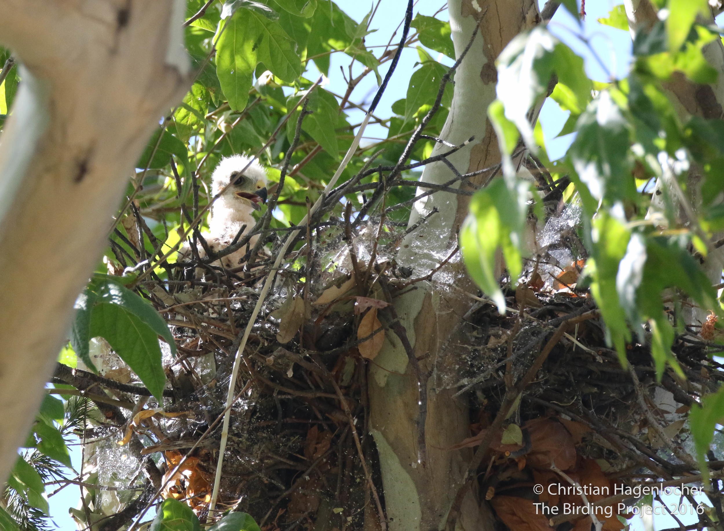 One of two visible Gray Hawk chicks, somewhere in a wash near Beatty's Guest Ranch.