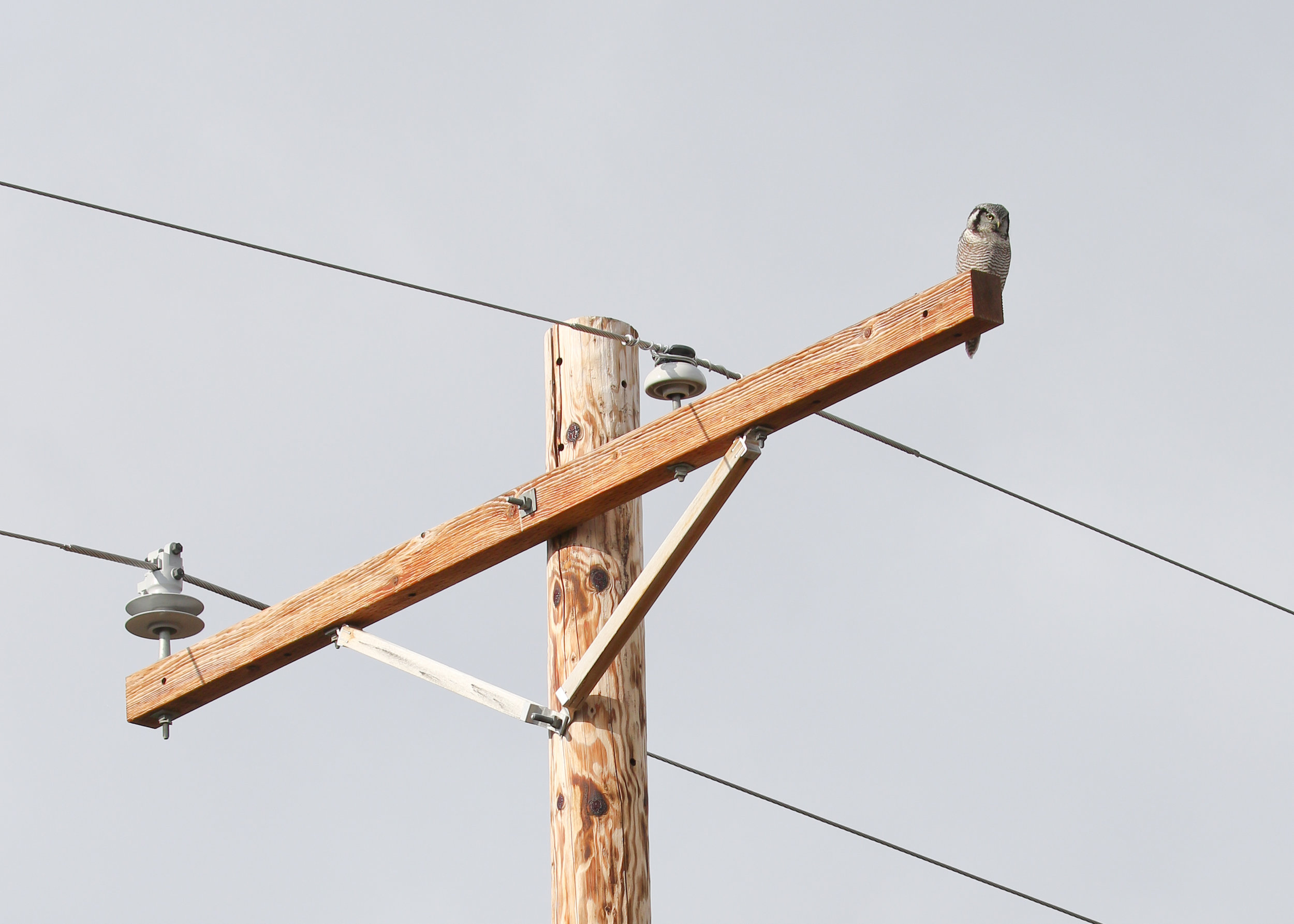 This telephone pole gives a sense of scale for the actual size of a Northern Hawk Owl  100mm f 8.0 1/400 sec ISO 100