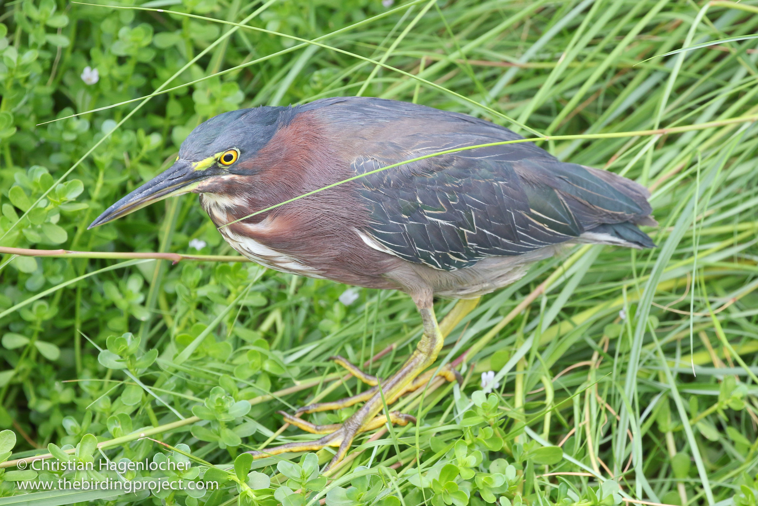 A Green Heron showed nicely, allowing everyone to get good views.