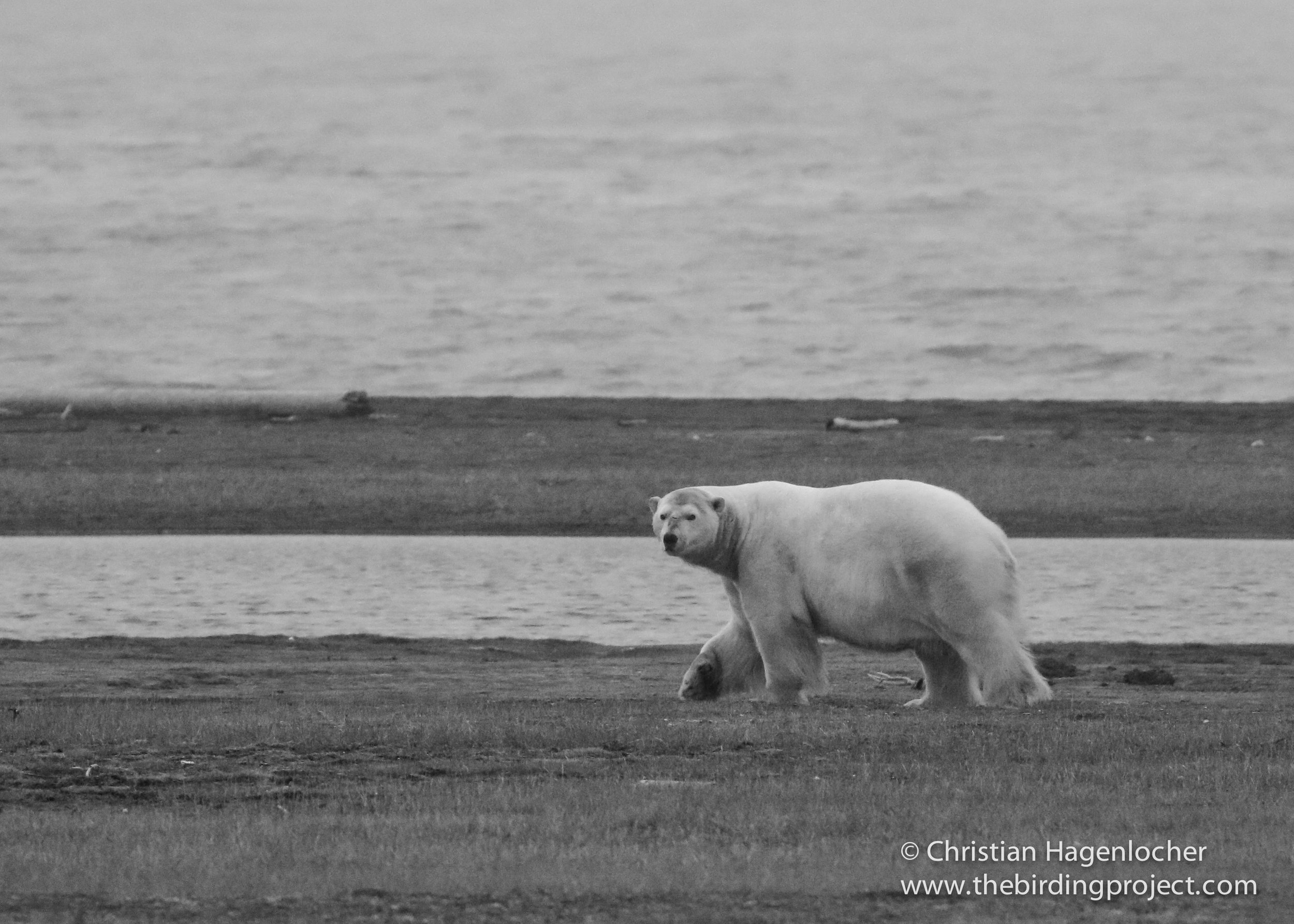 A Polar Bear takes a casual stroll, keeping a close eye on me.  This image was taken at 400mm, and cropped in post-production.