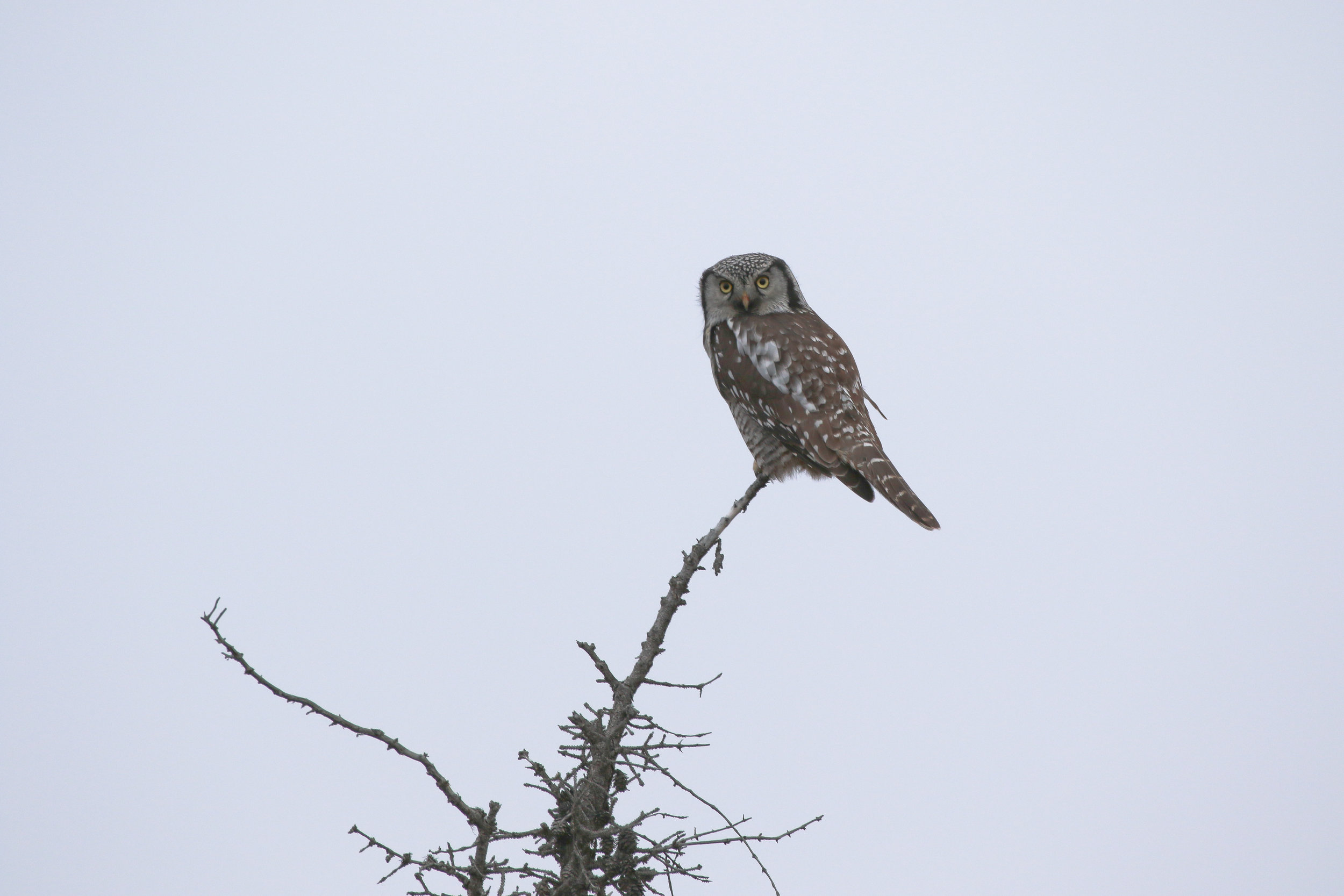 A Northern Hawk Owl sits atop a black spruce snag along the Glenn Highway in Alaska's interior.