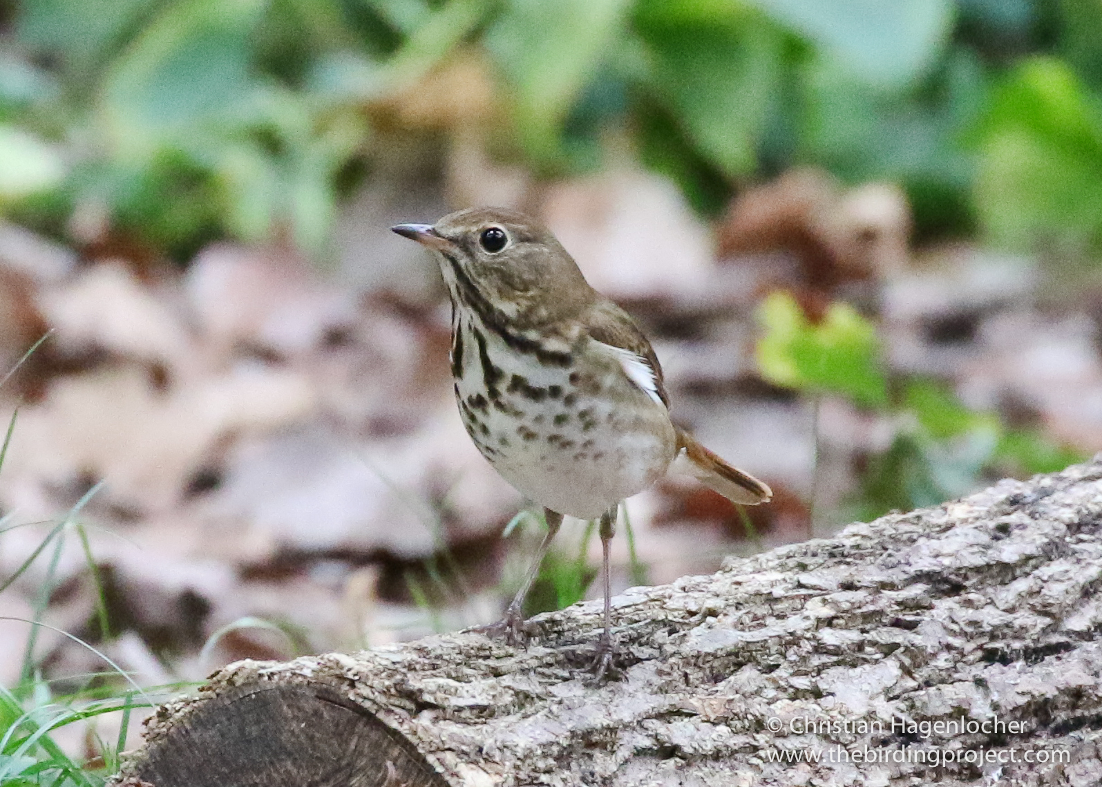 This isn't an Ovenbird... Can you tell what species of thrush this is? Comments are open!
