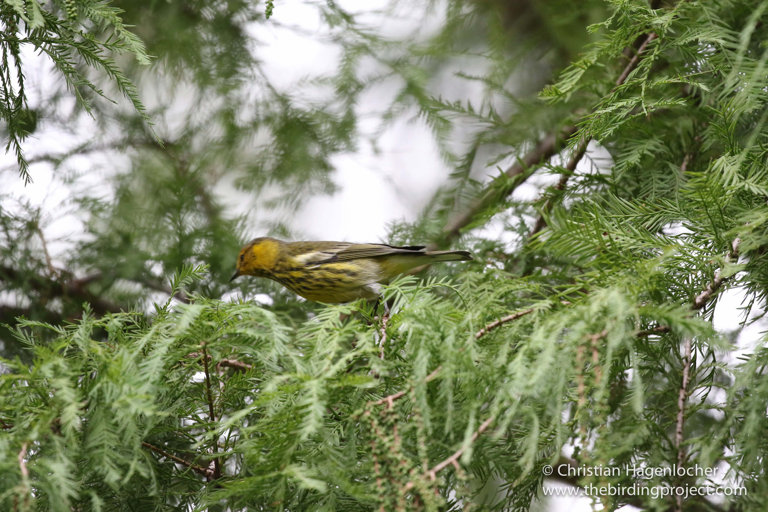 Not all of my photos are sharp and in focus, and that's ok. Warblers like this Cape May are quick!