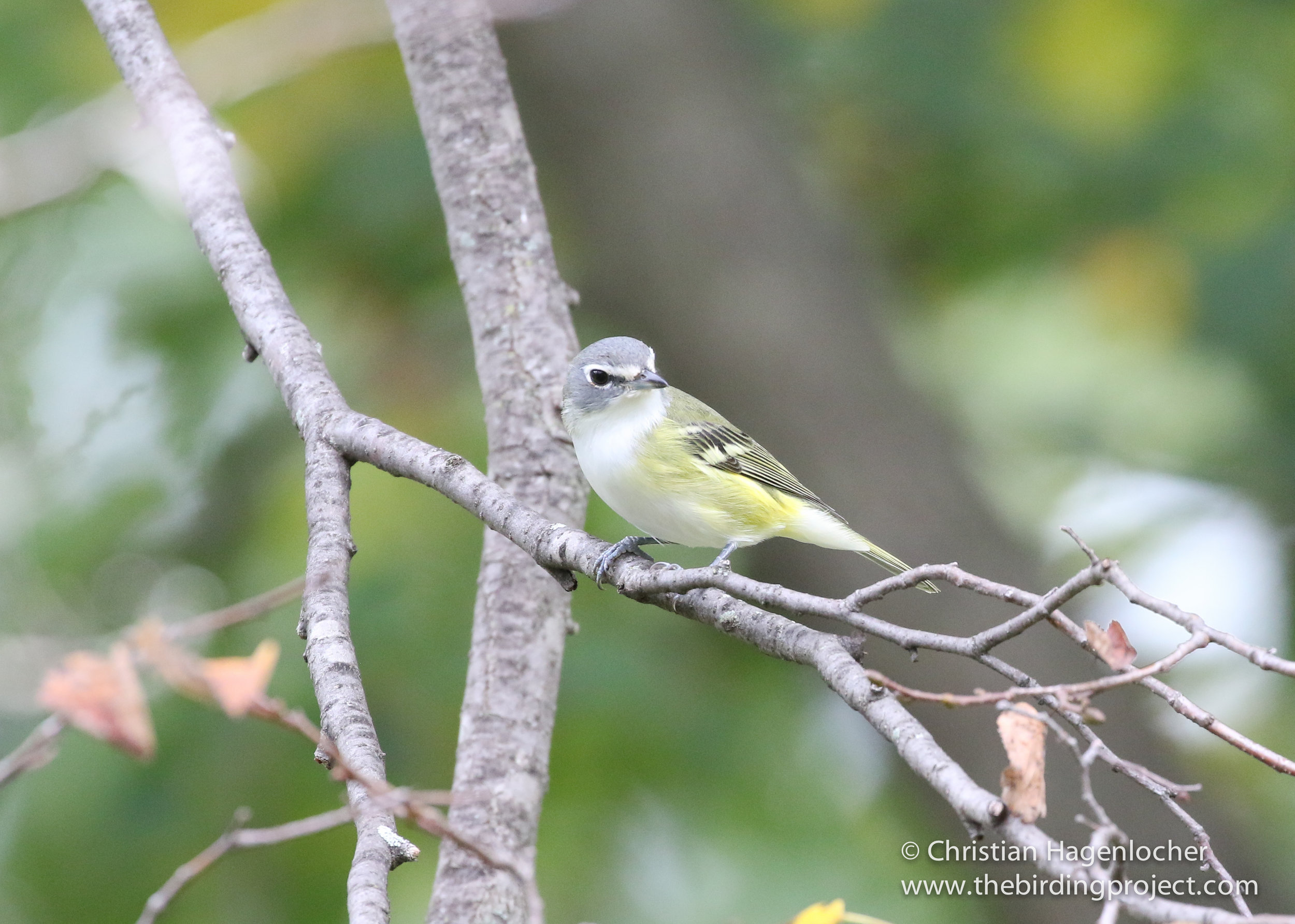 """A Blue-headed Vireo has a """"spectacled"""" appearance, taking a second to check me out."""