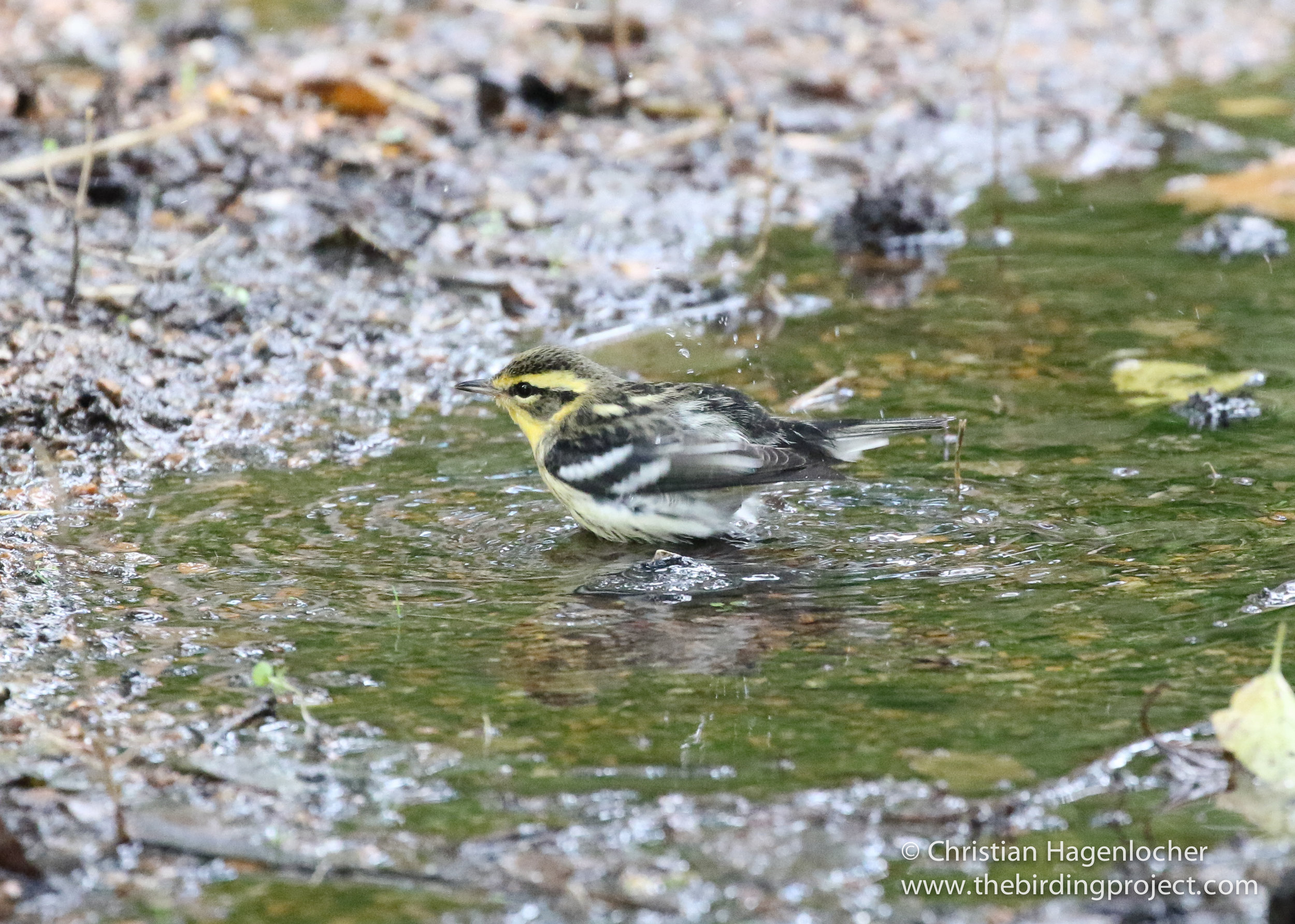 A female Blackburnian Warbler bathes in a stream before returning to the tree tops to feed.