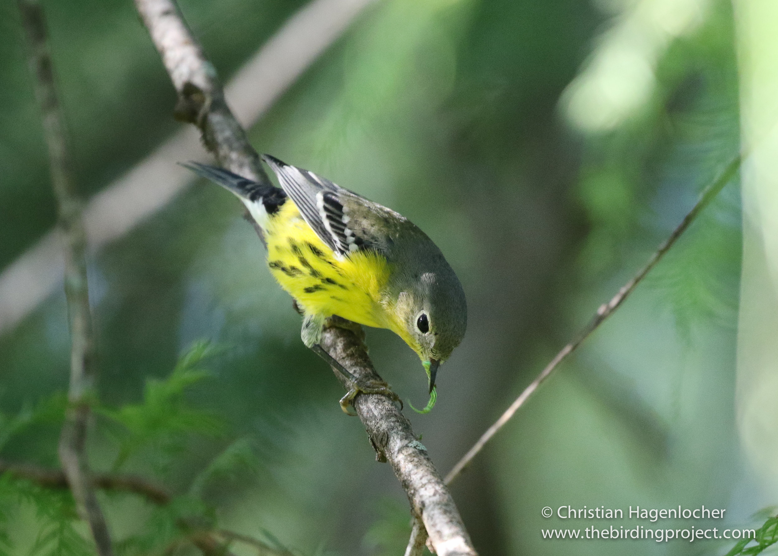 A Magnolia Warbler snags a small caterpillar from a crevice along a Cypress branch.