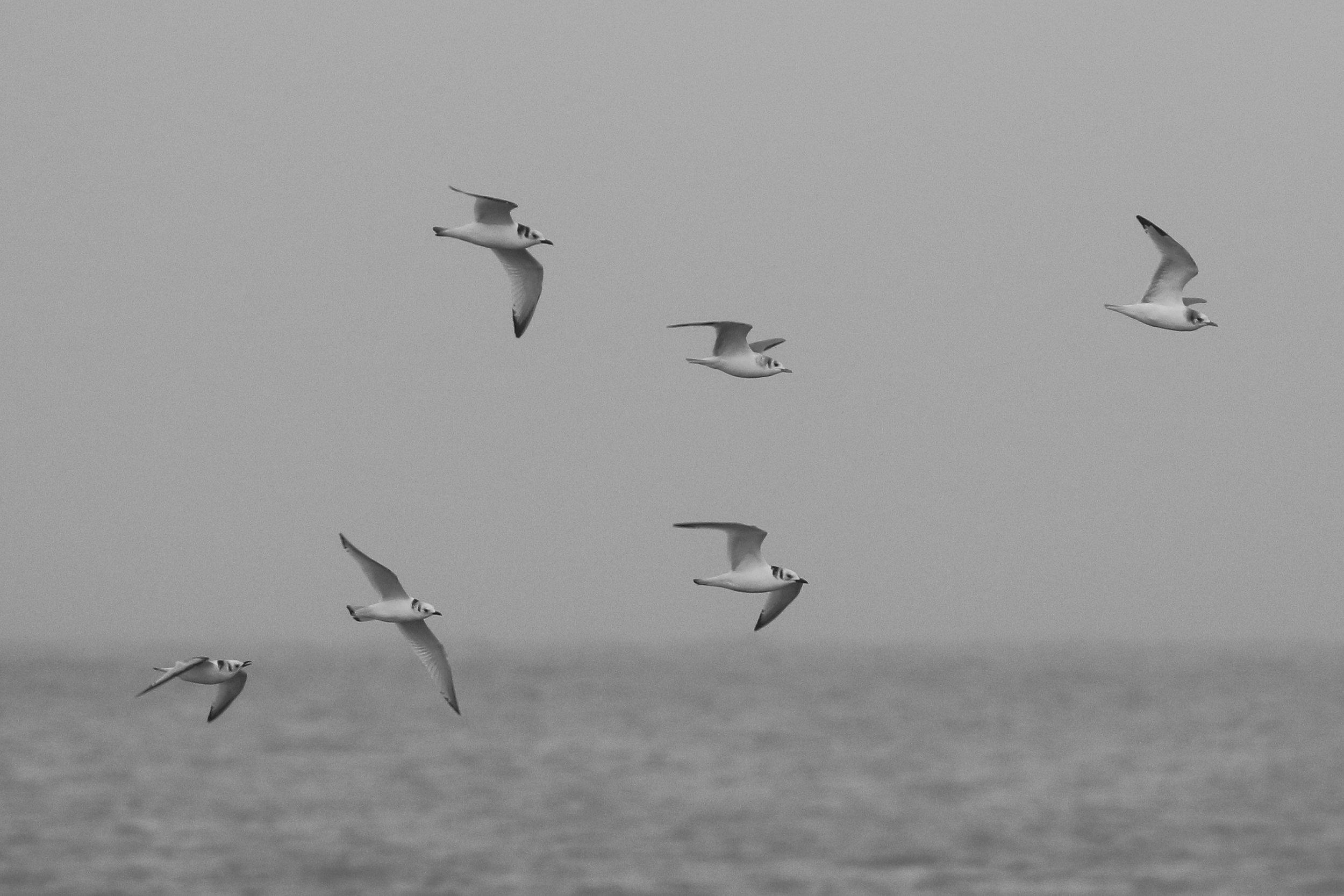 A flock of juvenile Black-legged Kittiwakes flies past the point, in Barrow Alaska