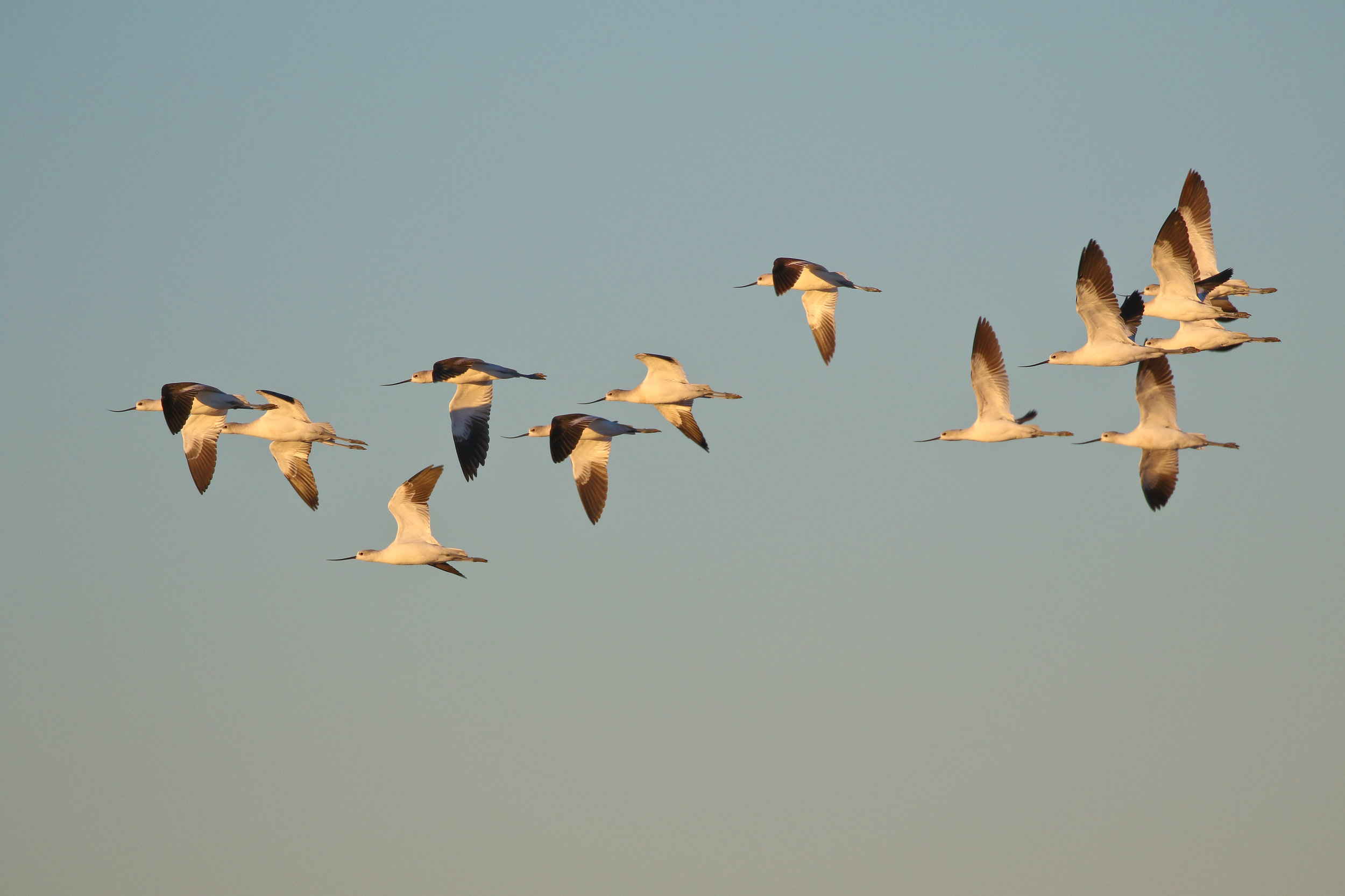 A flock of American Avocets flies past in the warm early morning light.