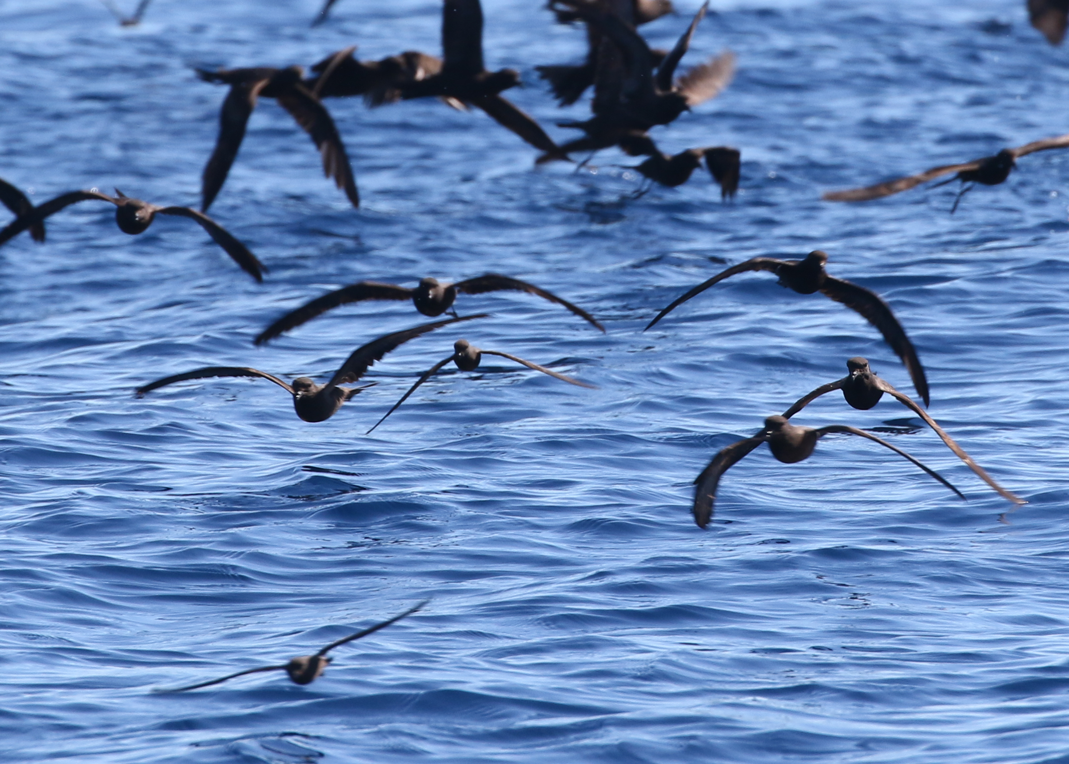 A flock of storm-petrels heads right for us- Can you spot the Least(s) in this photo amongst the Blacks?