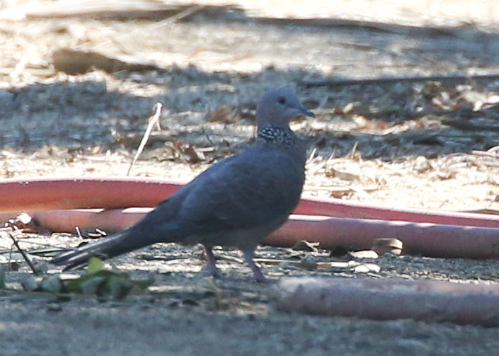 I snapped a super-cropped Spotted Dove photo, just to back Laura up!