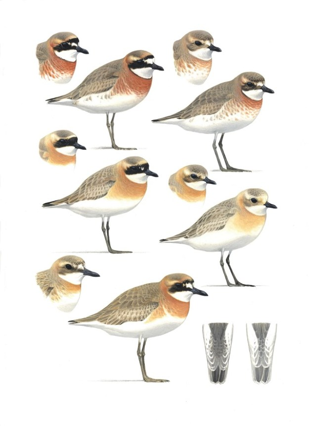 """Plate from artist Ian Lewington showing the Greater and Lesser """"Mongolian"""" sand plover complex  Ian is a talented artist, and more of his work can be seen at http://www.ian-lewington.co.uk/"""
