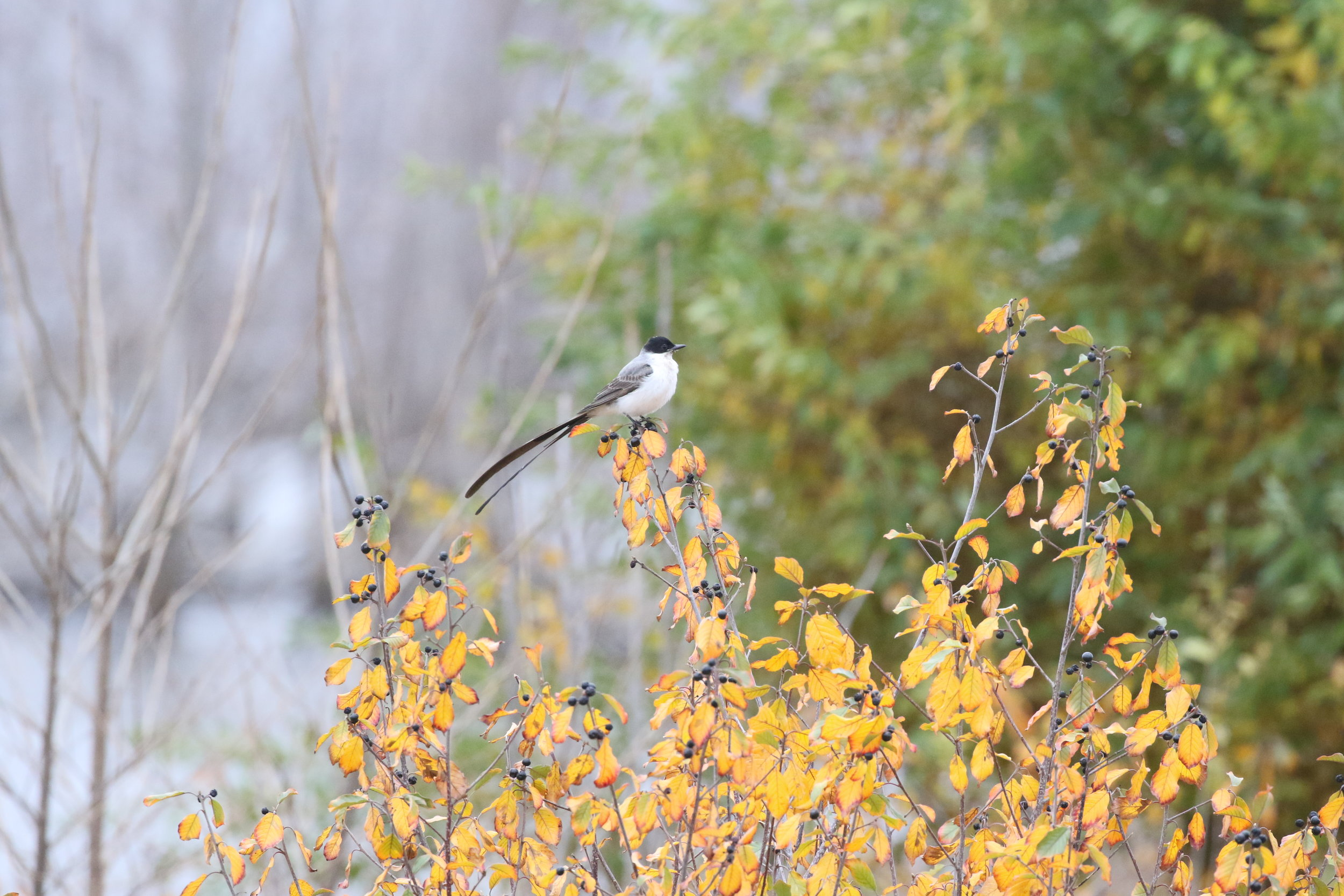 Fork-tailed Flycatcher, one of my most-wanted ABA vagrants.