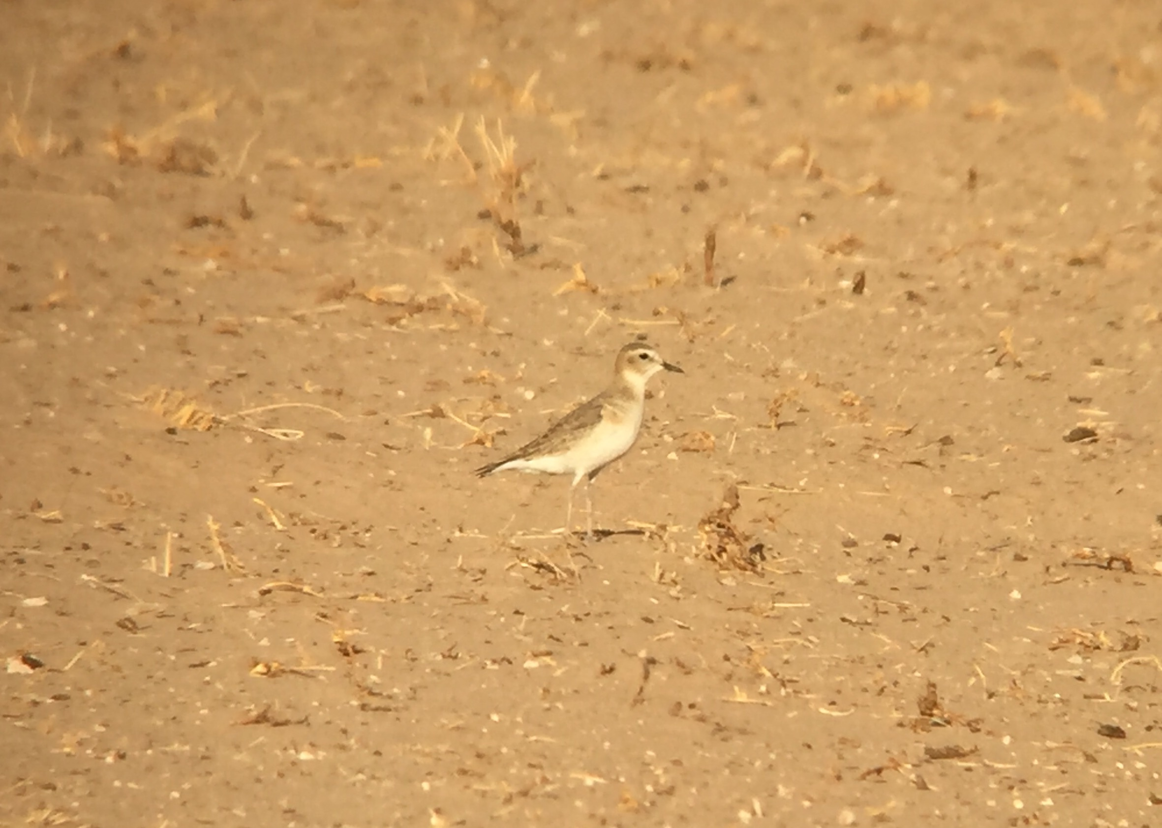 One of many Mountain Plovers in Arizona