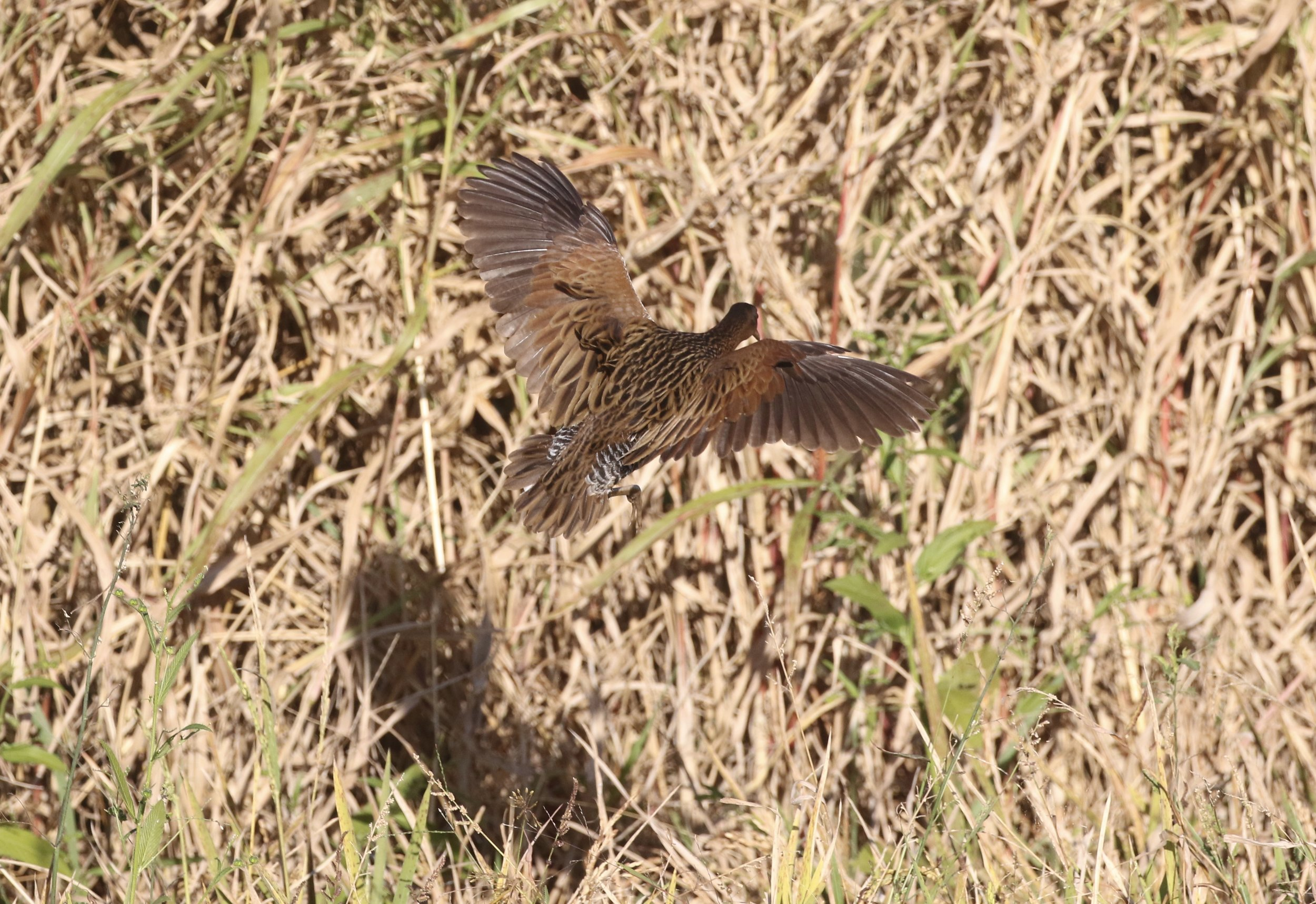 The largest rail species, the King Rail flushes away from the combine into the taller grass.