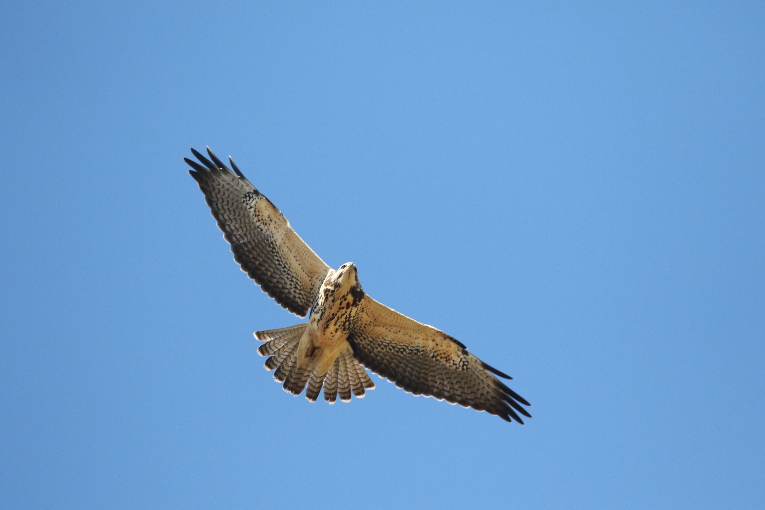 I was treated to two different light-phase juvenile Swainson's Hawks- migrating south for winter.