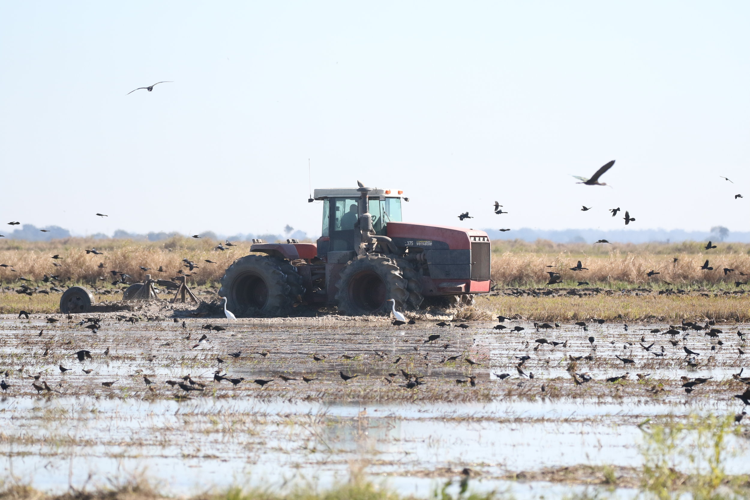The next field over was being worked with a tractor, dredging up lots of tasty treats for the birds.