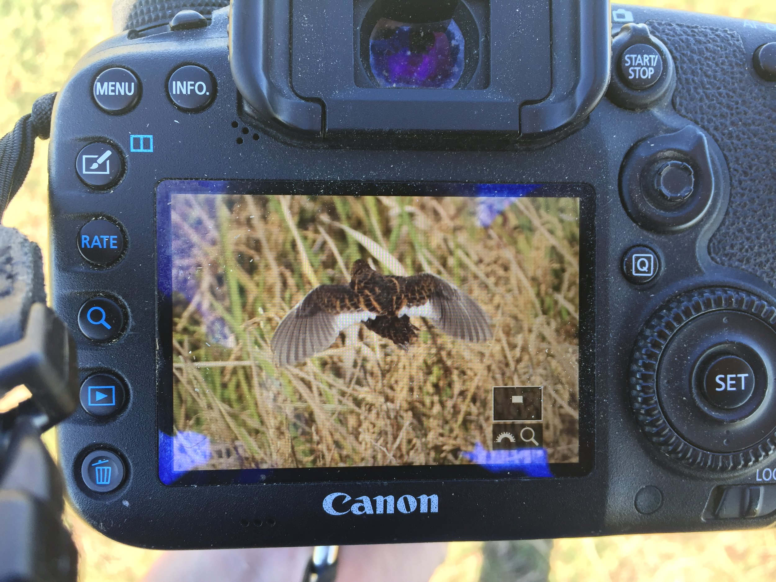 One of the first birds flushed- a Yellow Rail!