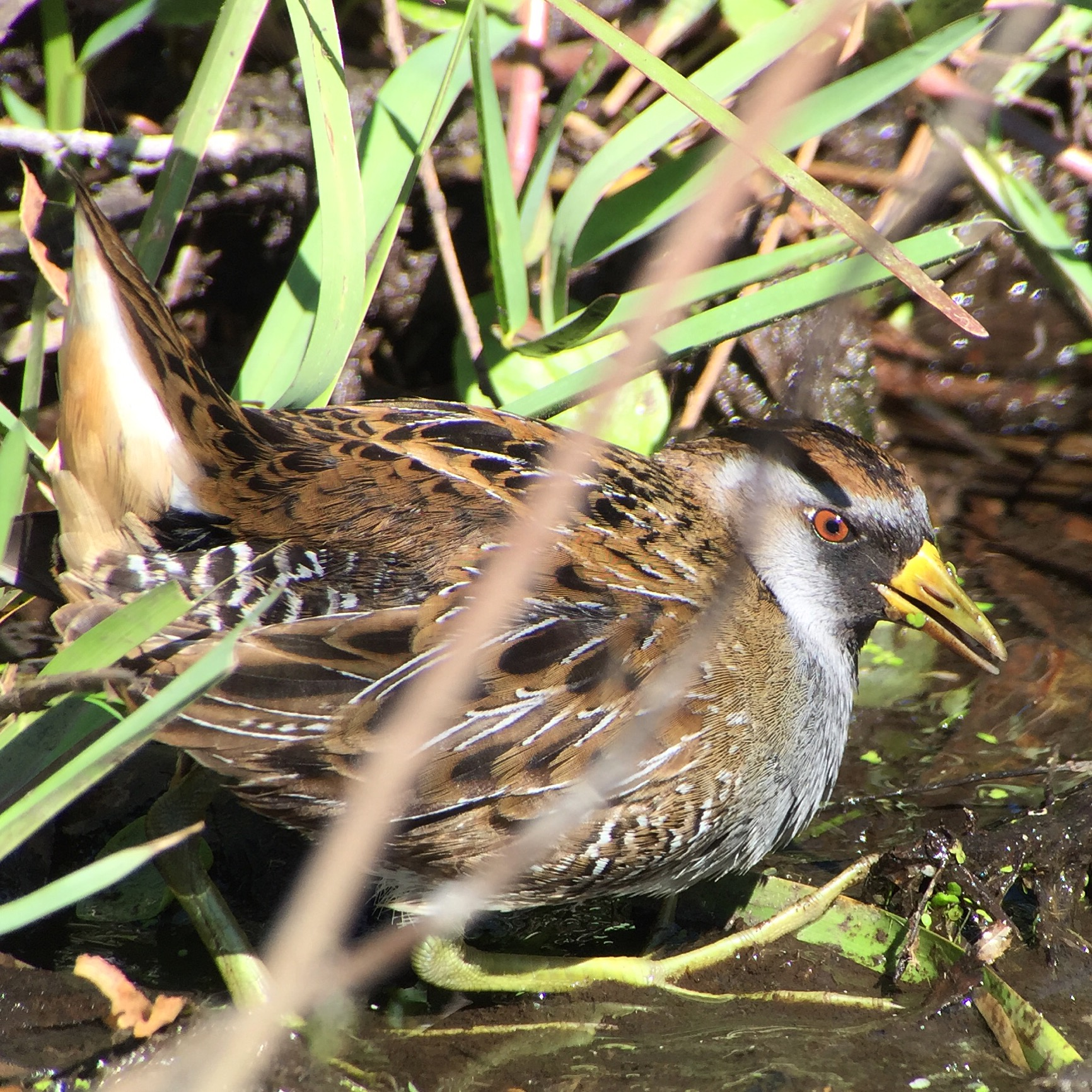 A Sora slipped out of the marsh for a few brief seconds earlier this year in Texas, allowing me to take an iphone / scope photo.