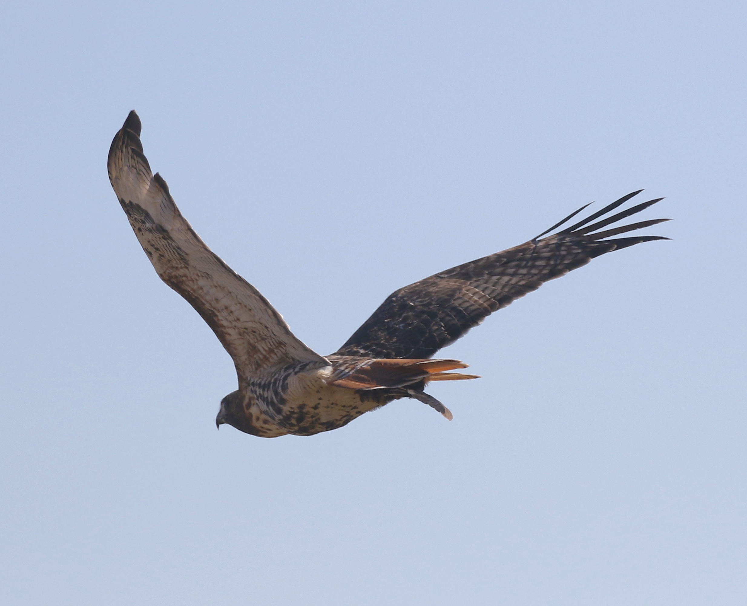 Red-tailed Hawk with a freshly-caught Yellow Rail.