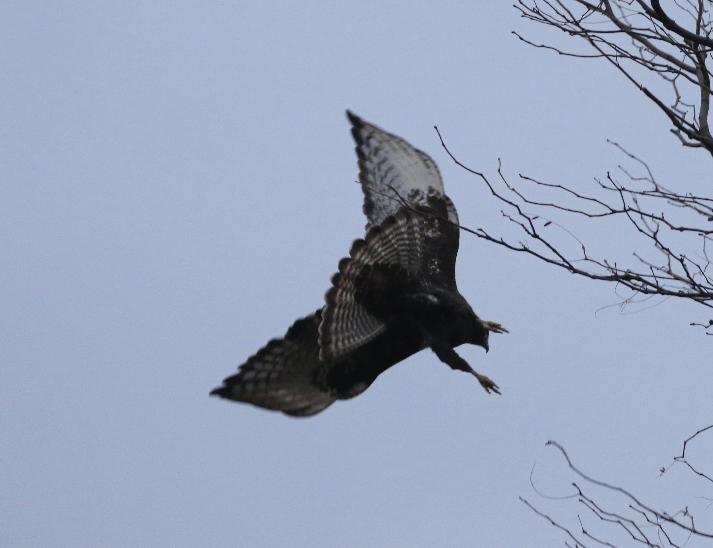 This adult Harlan's had an amazing banded/barred tail, which nearly had me thinking Rough-legged Hawk for a second. (Notice the bare legs, ruling out Rough-leg)