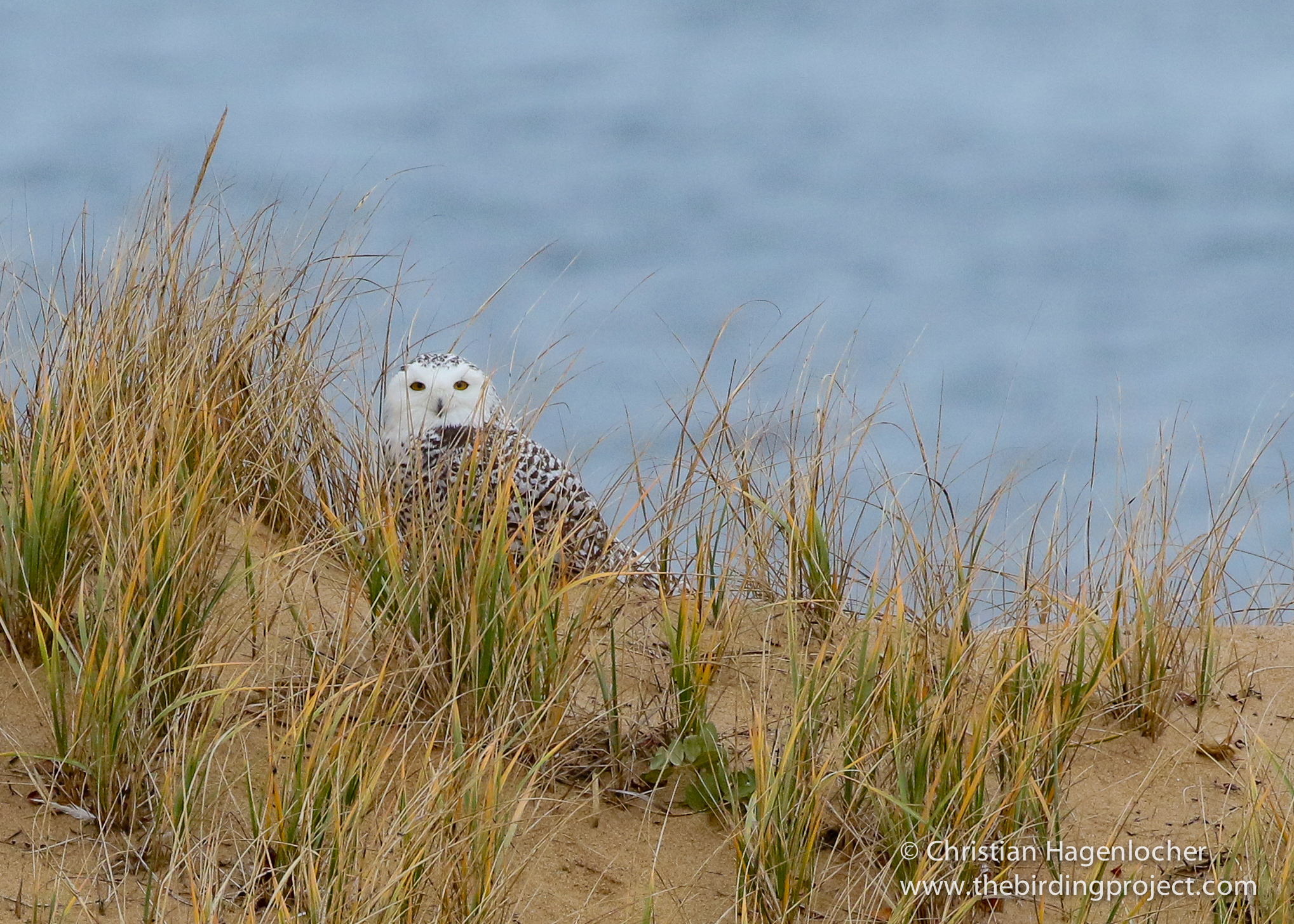 Snowy Owl in the dunes at Race Point. I haven't seen two Snowy Owls back-to-back since Attu!