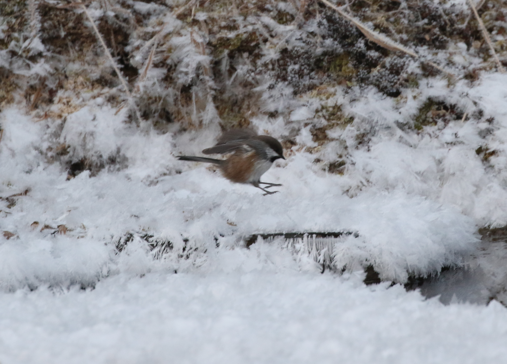 A Boreal Chickadee, with distinct chestnut flanks clearly visible.