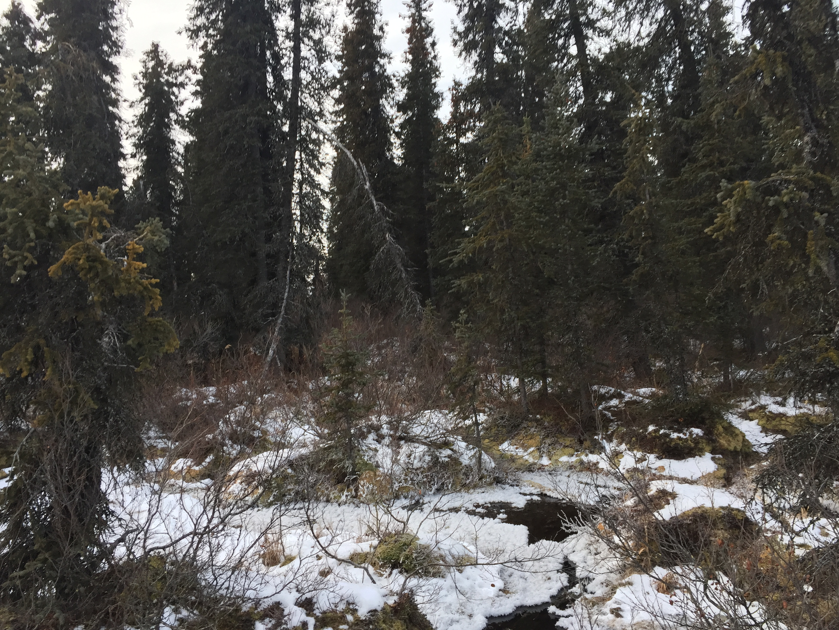 Patches of dense forest around the lake made visibility difficult- so we alerted bears to our presence by yelling cautionary announcements into the trees. No bears were seen on the ground