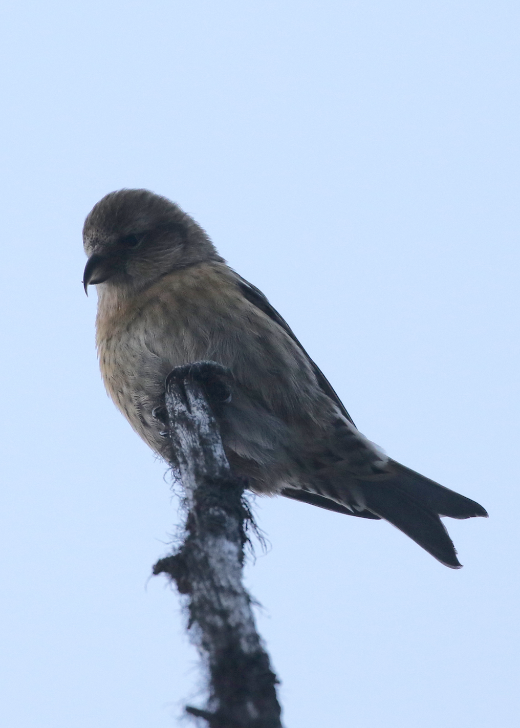 With the brilliant idea of playing an owl tape, a member of our group attracted a curious flock of White-winged Crossbills, a specialist of the spruce/pine forests who can dismantle pine cones with a quick nip, extracting the energy-rich seeds inside.