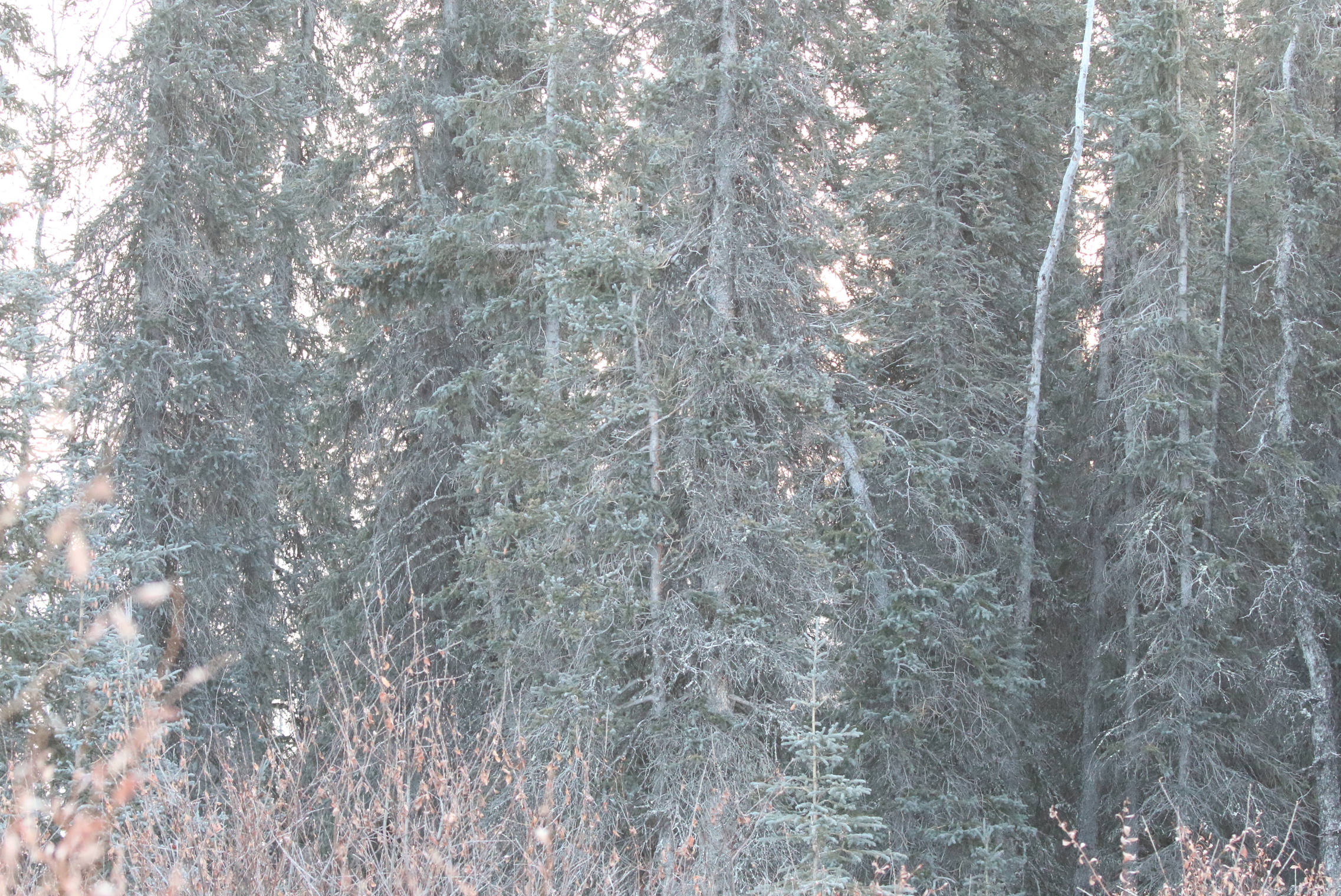 This picture was taken from where I was standing, showing the tree I saw the 'chickadee sp.' in. Middle tree, just above center is the spot I got the bird in my bins. This photo was taken at 400mm and is approximately the same view I had through bins, though slightly less magnified.