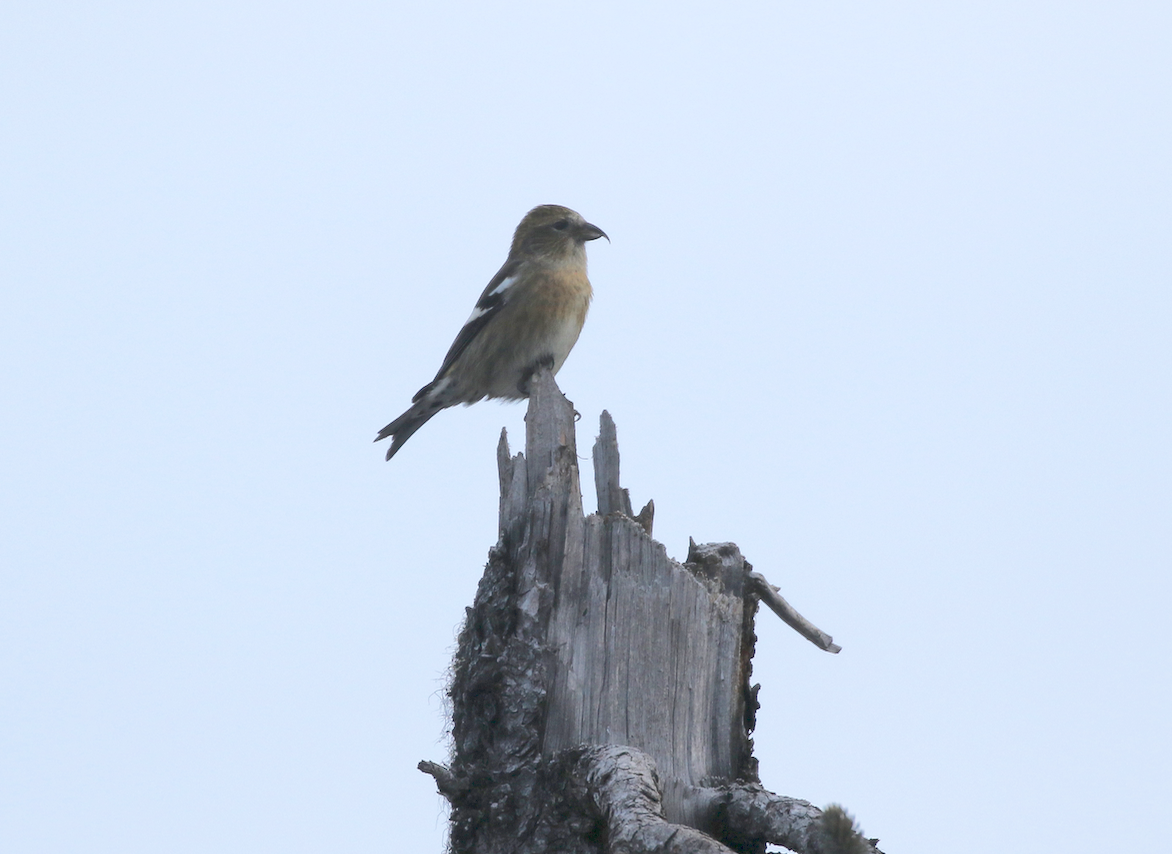 A more distant but diagnostic shot of a female White-winged Crossbill.