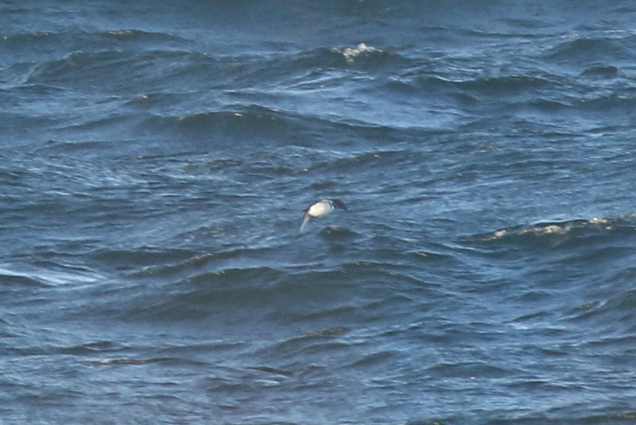 Here's one of the better bad photos of a potential Dovekie, a brief flyby of a single 'alcid sp.'