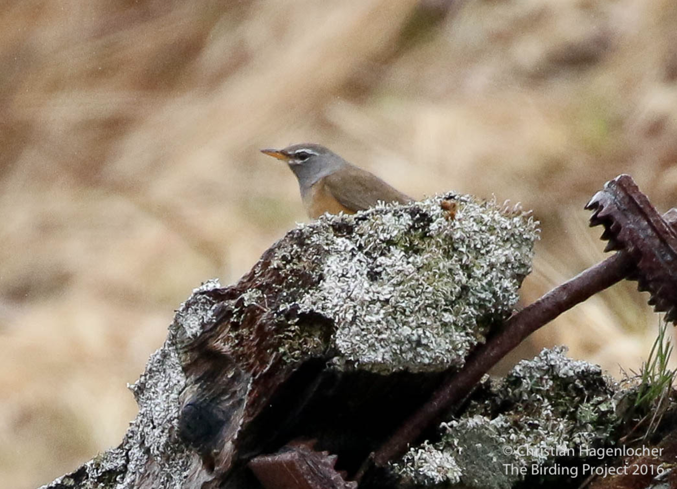 Rarities we found in 2016 included Eyebrowed Thrush (above) Brambling, Rustic Bunting, and Eurasian Hobby