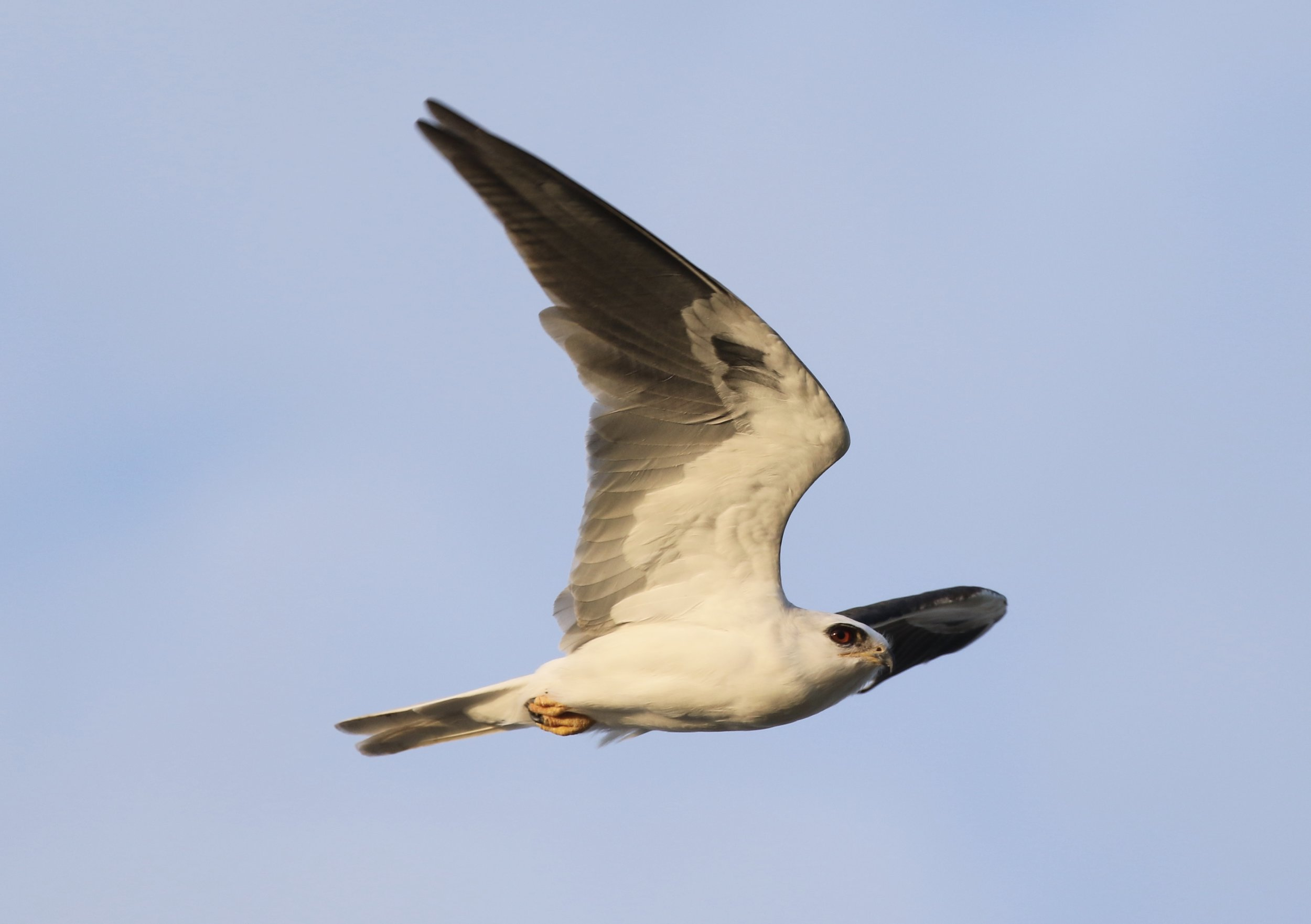 White-tailed Kite, Texas