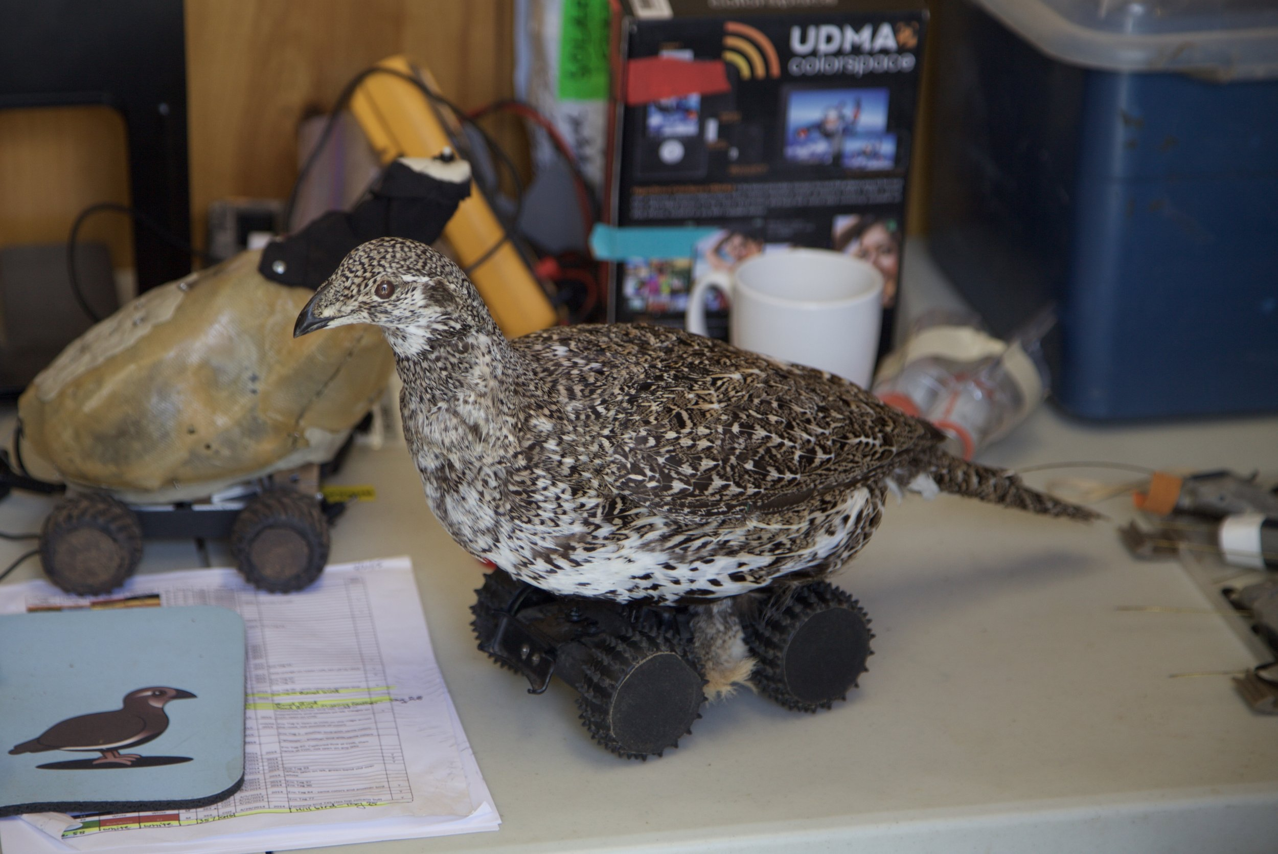 Robotic Sage Grouse are being used to learn about behavior and human disturbance