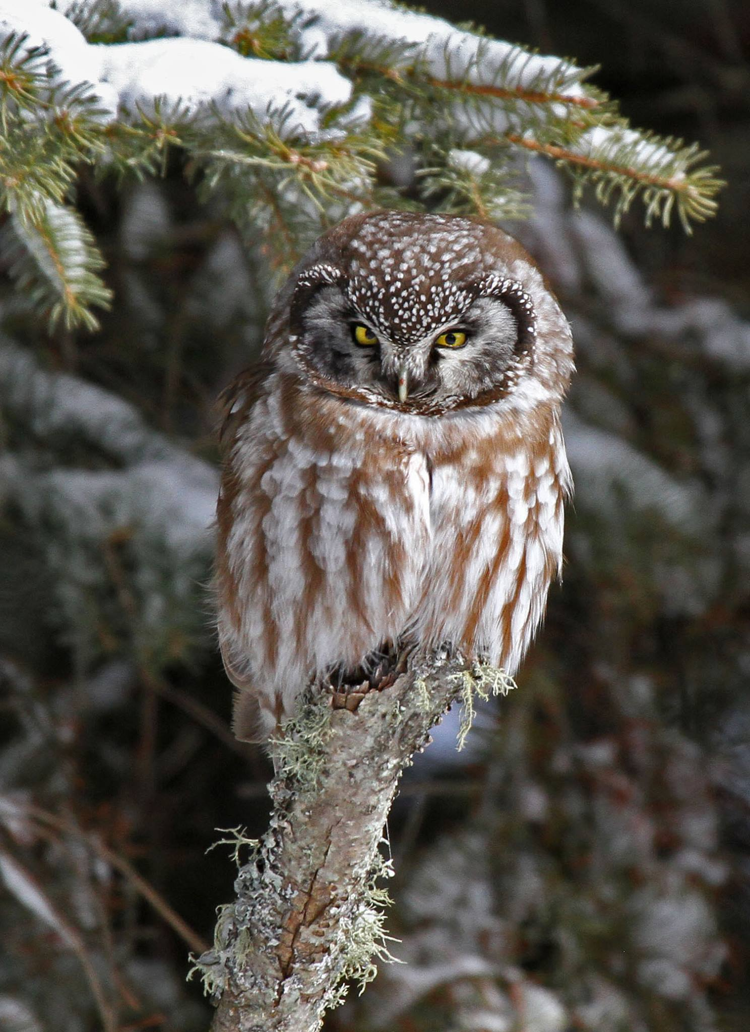 Boreal Owl photographed by Laura Keene, 2016 Big Year birder and role model to many female birders!